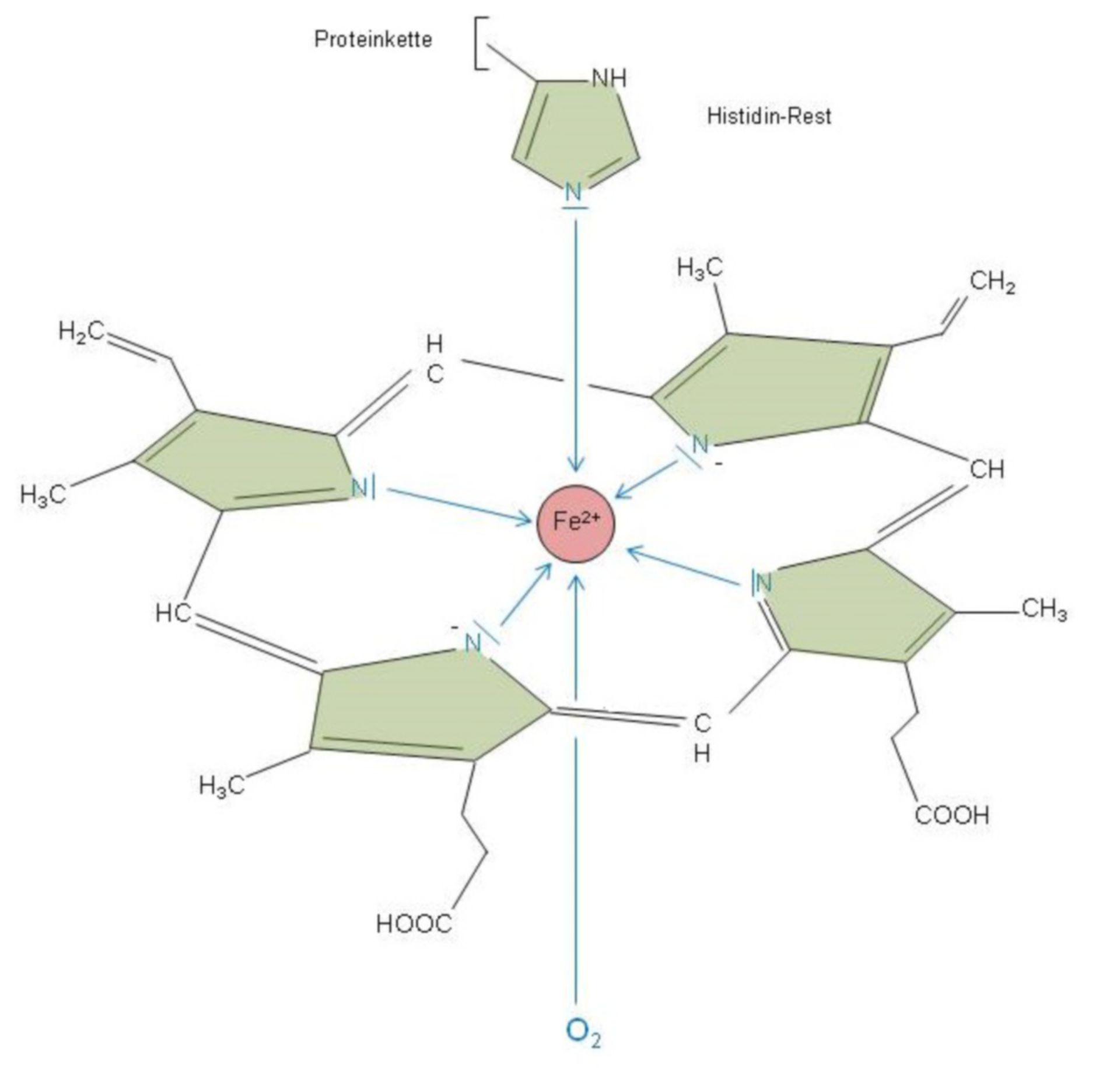 Struktur des Häms mit den zusätzlichen Liganden im Hämoglobin