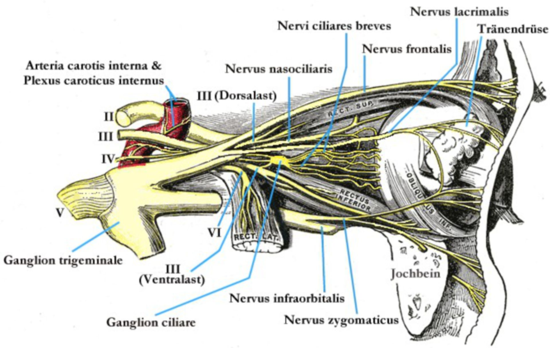 Los nervios del ojo (esquema)