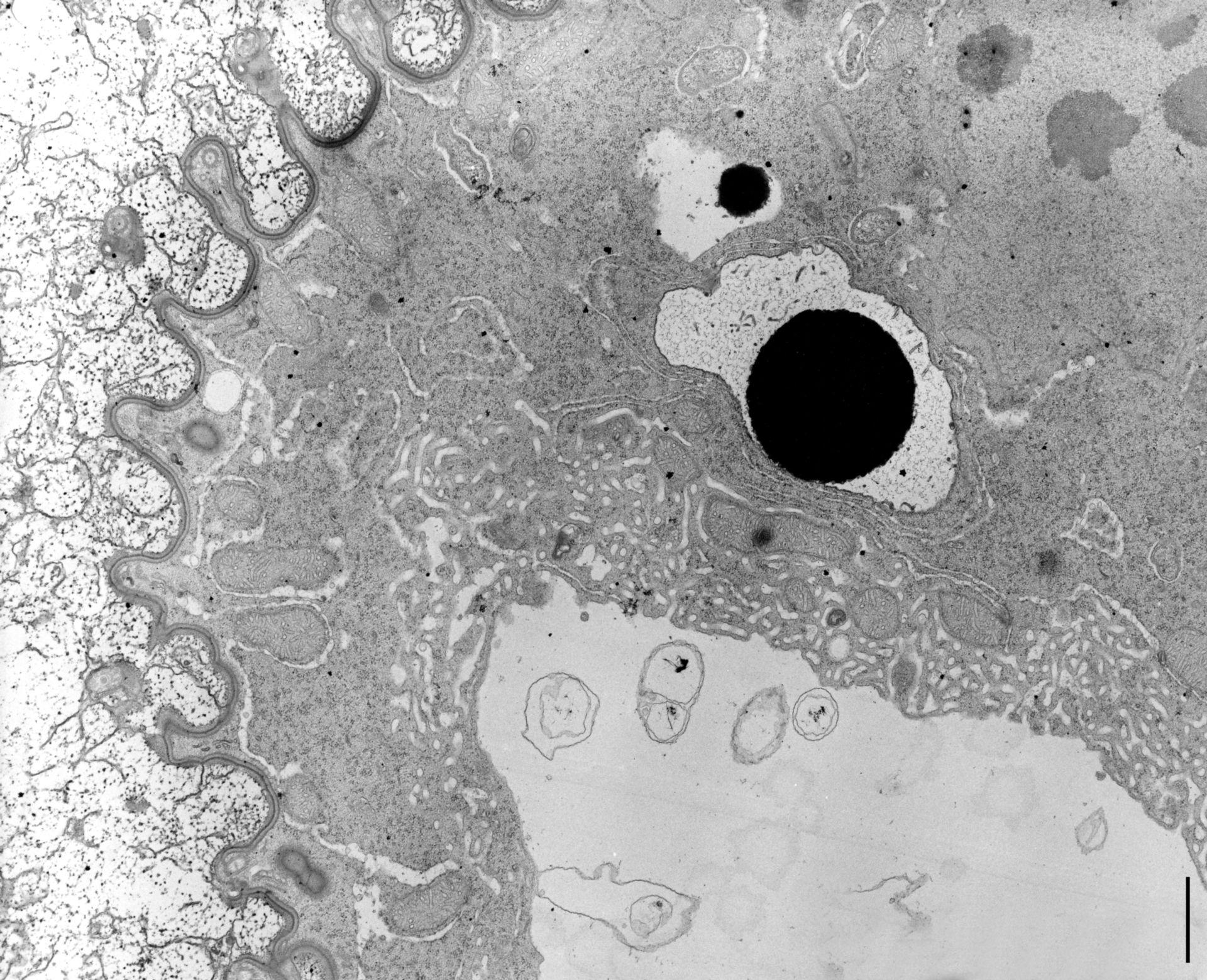 Nassula (cellula corticale) - CIL:9843