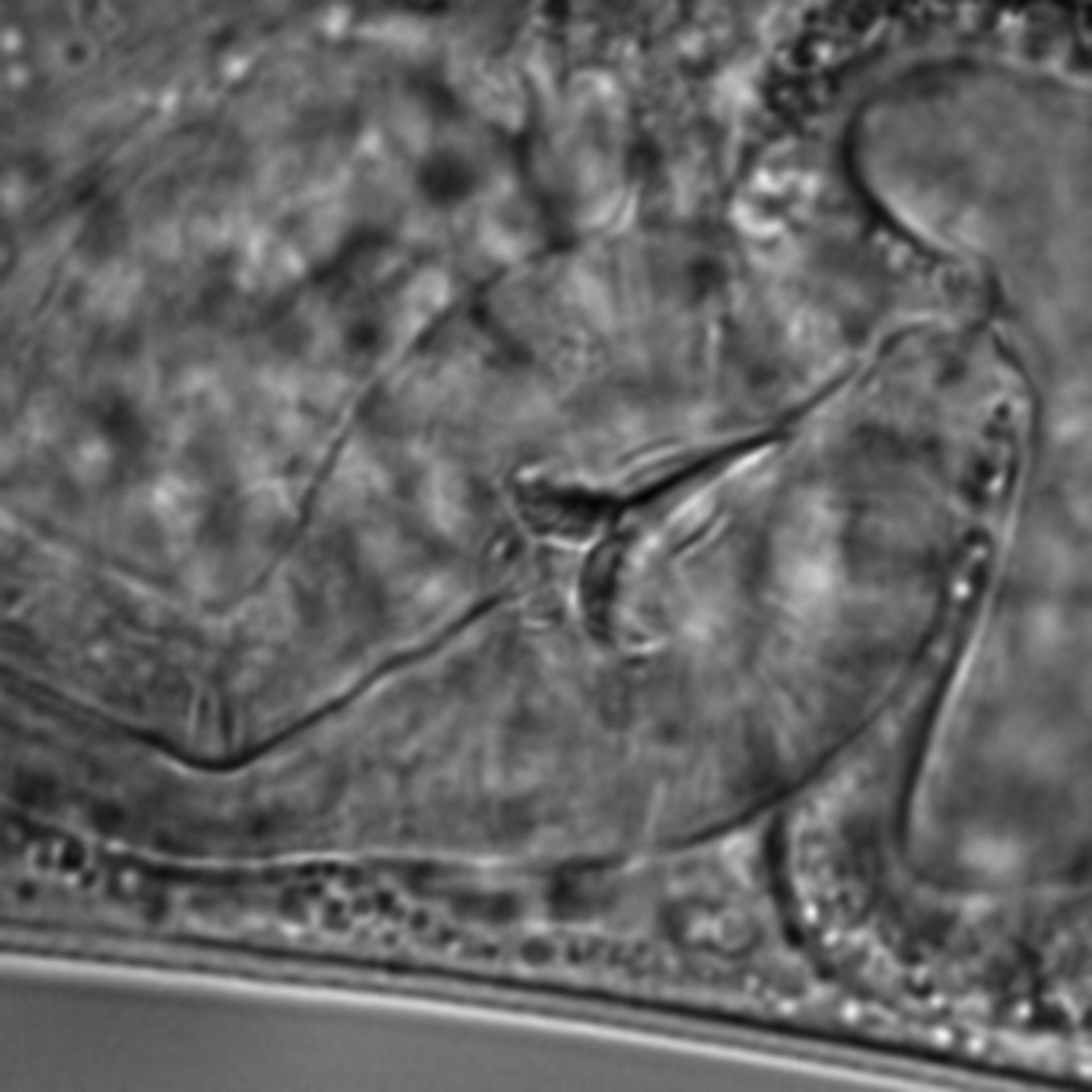 Caenorhabditis elegans - CIL:1667