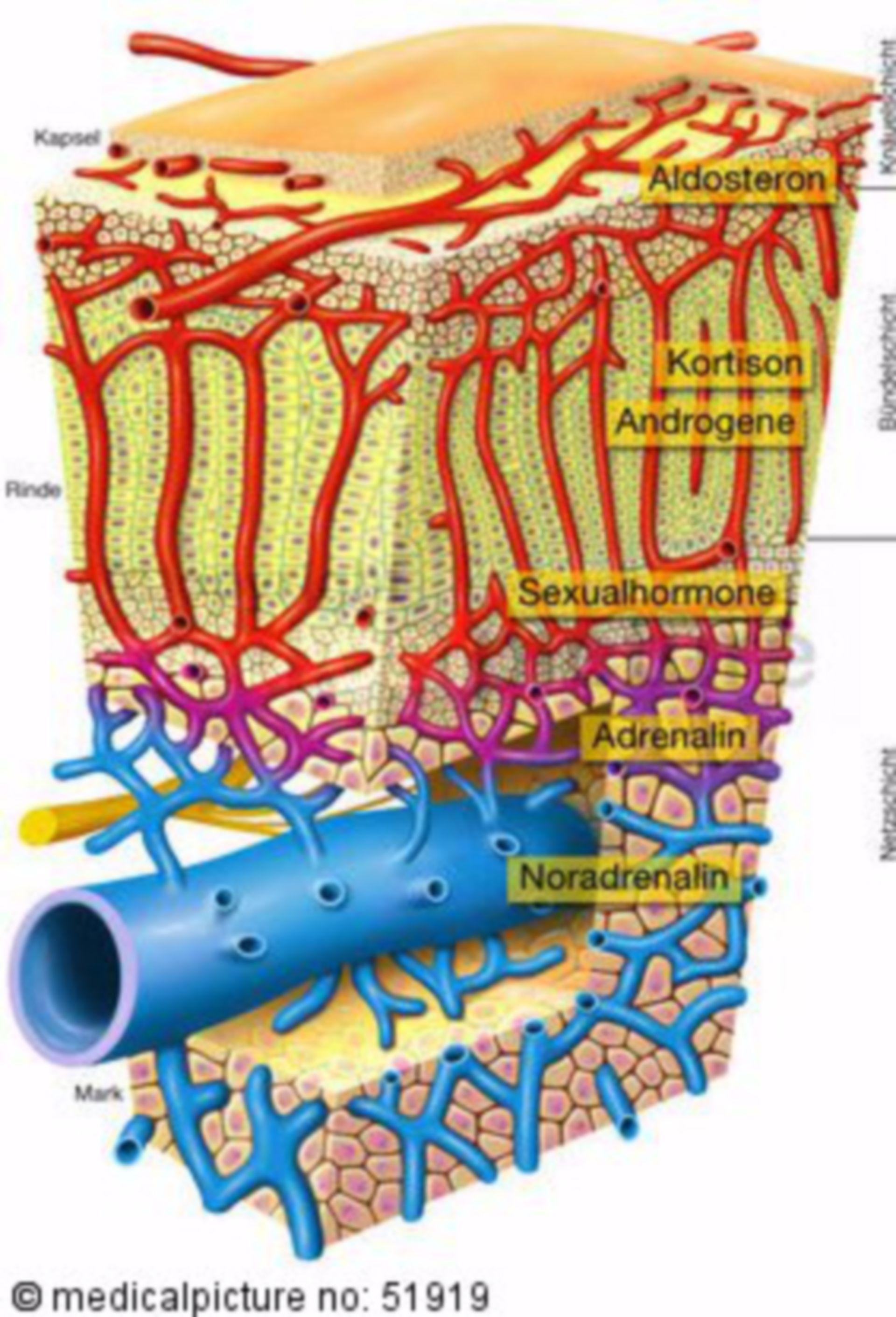 Histologie der Nebenniere