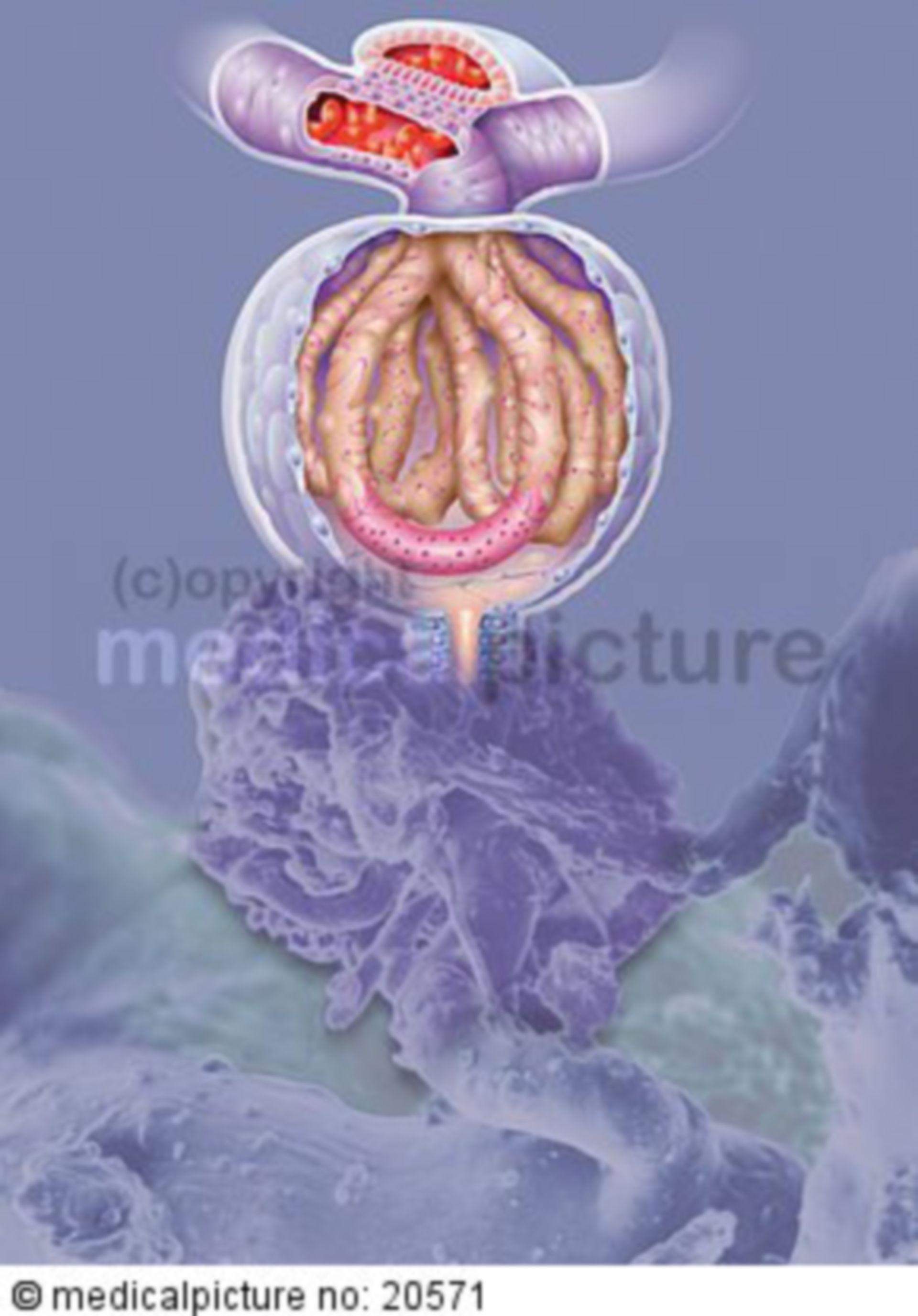 Renal corpuscule