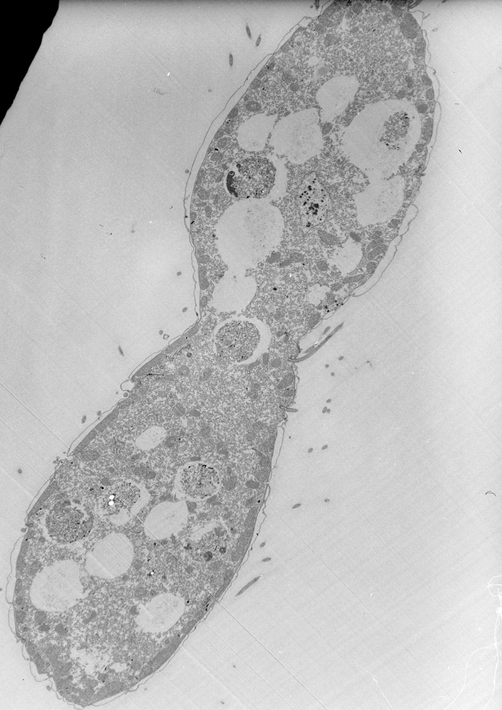 Tetrahymena pyriformis (Cellula) - CIL:39801