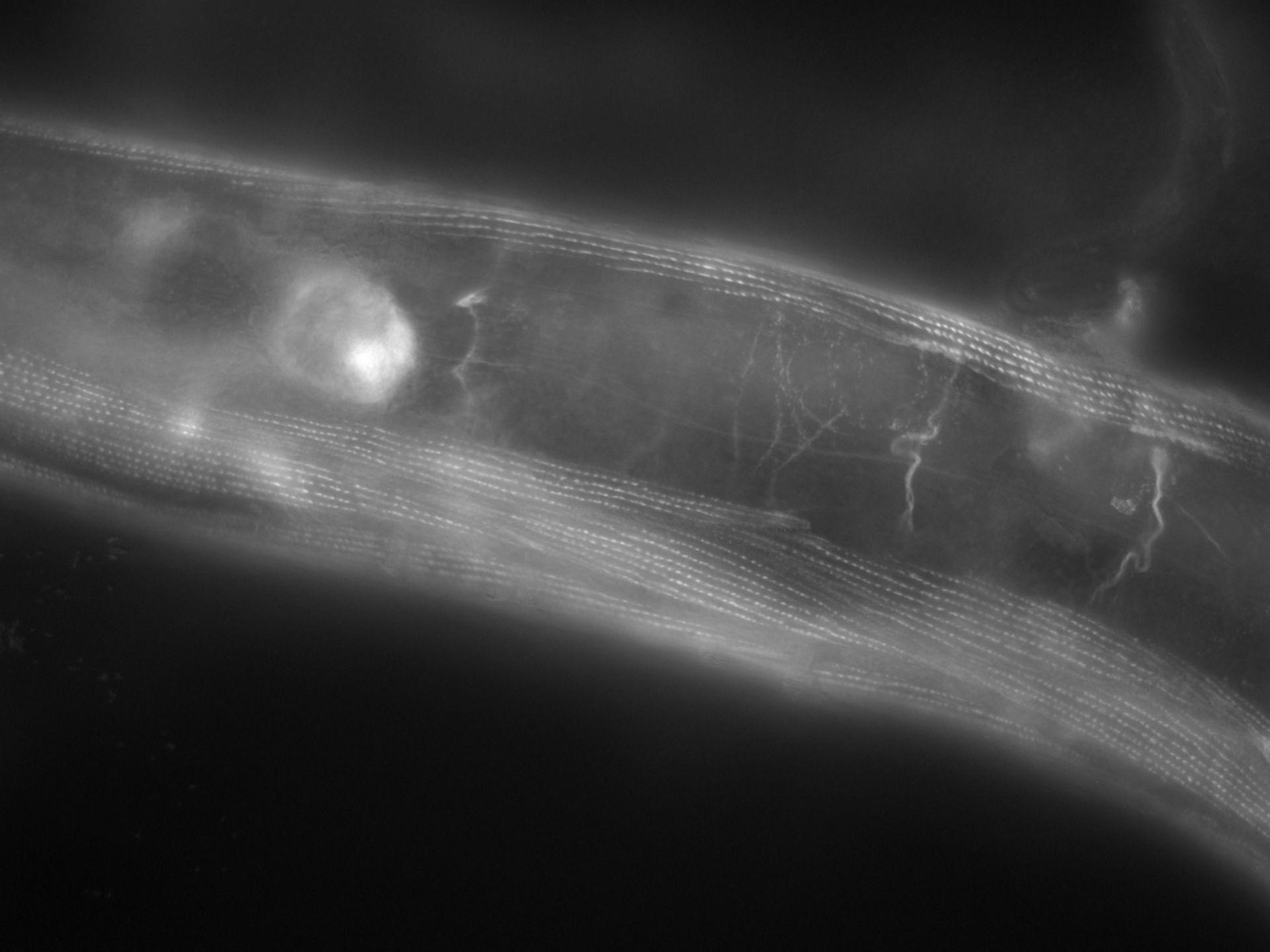 Caenorhabditis elegans (filamento di actina) - CIL:1124