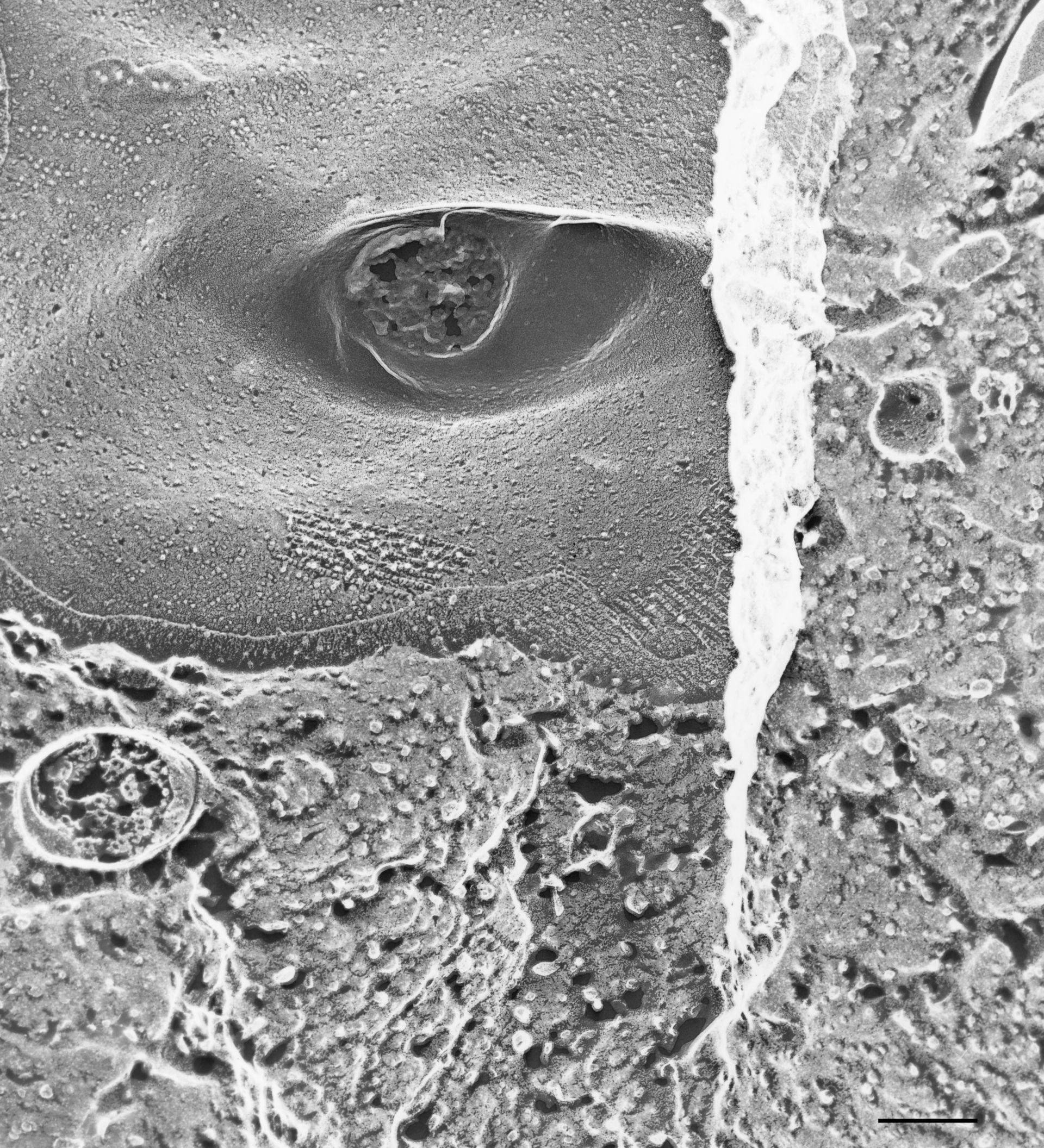 Paramecium multimicronucleatum - CIL:36610