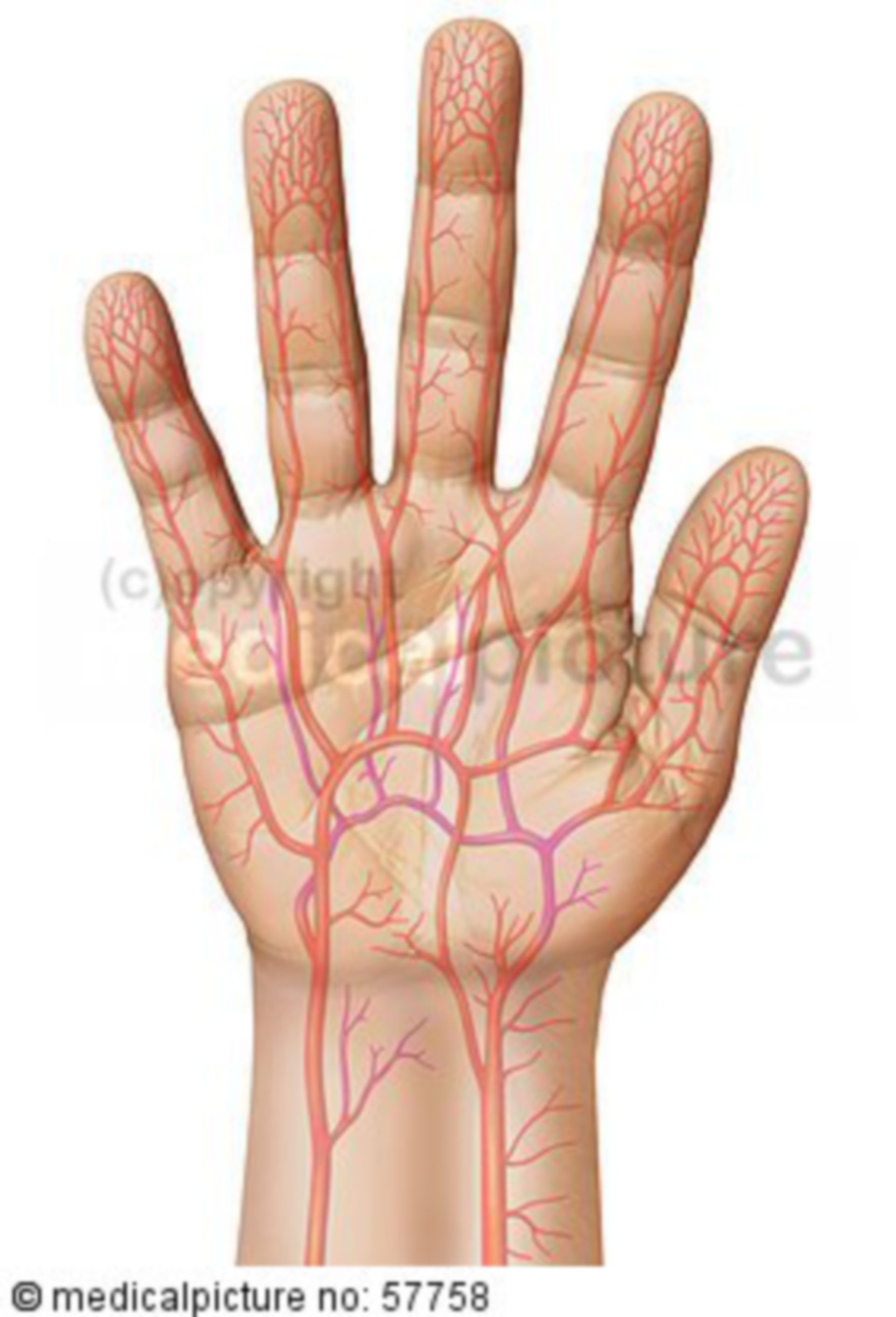 Anatomical illustrations - arterial supply of the hand