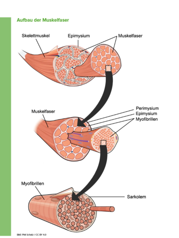 Aufbau der Muskelfaser