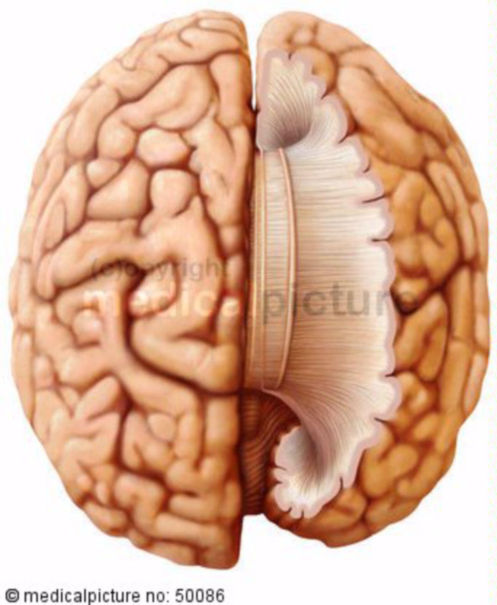 Collegamento delle due metà del cervello tramite del corpo calloso (corpo calloso)