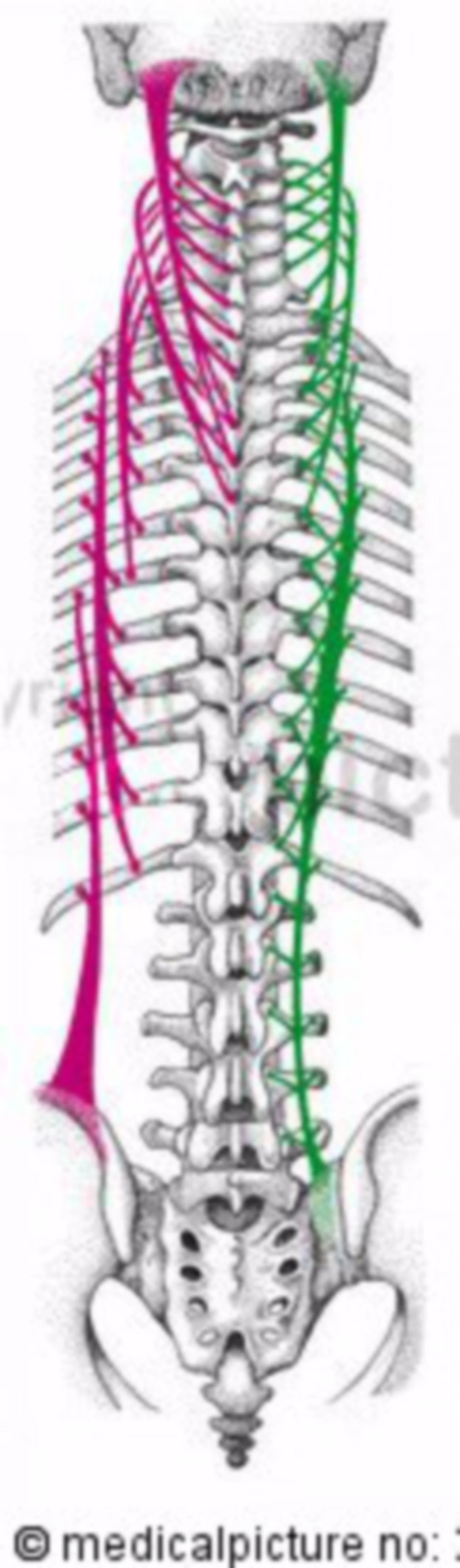 Fibre laterali dei muscoli della schiena