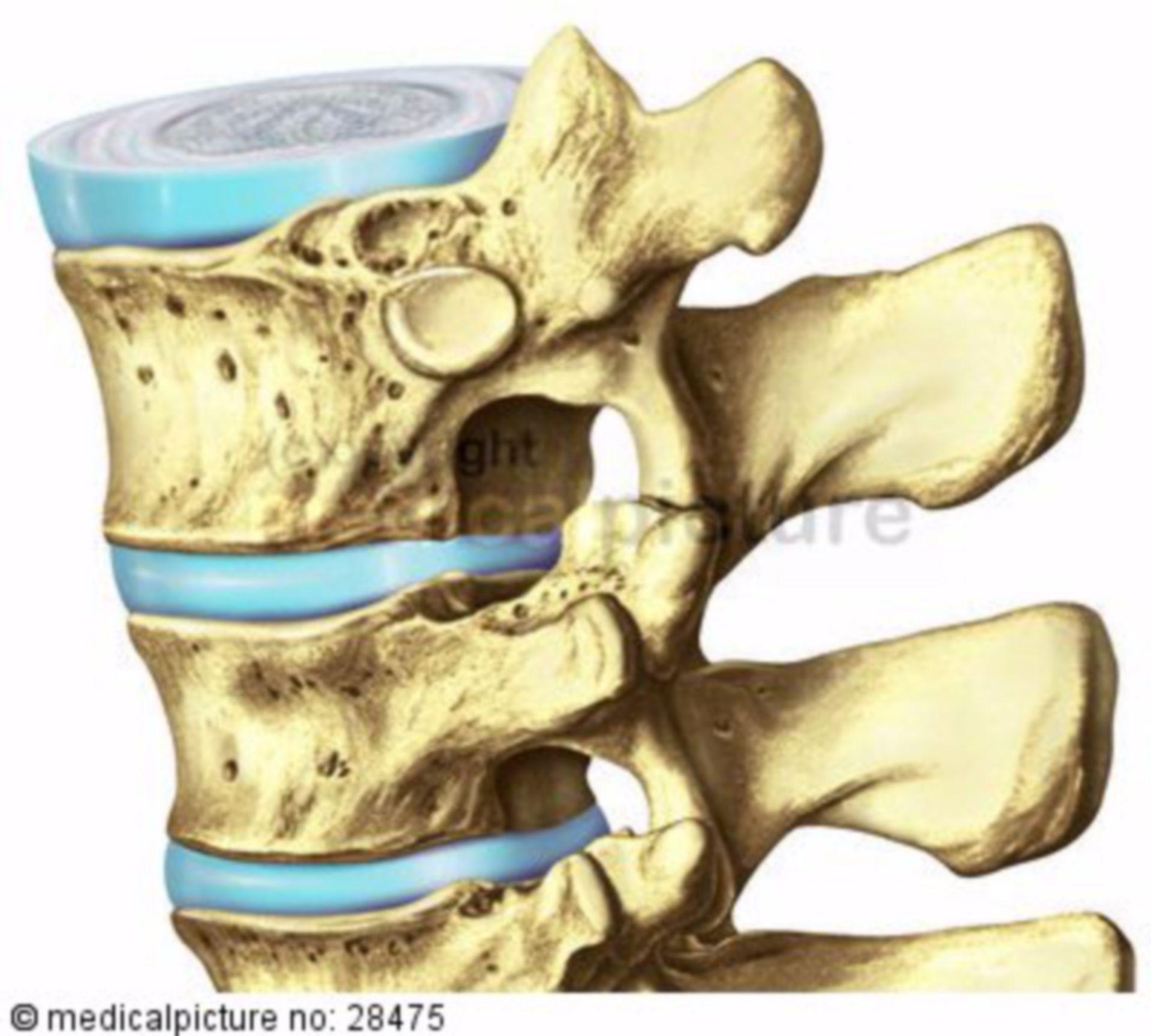 Spinal column and intervertebral disc