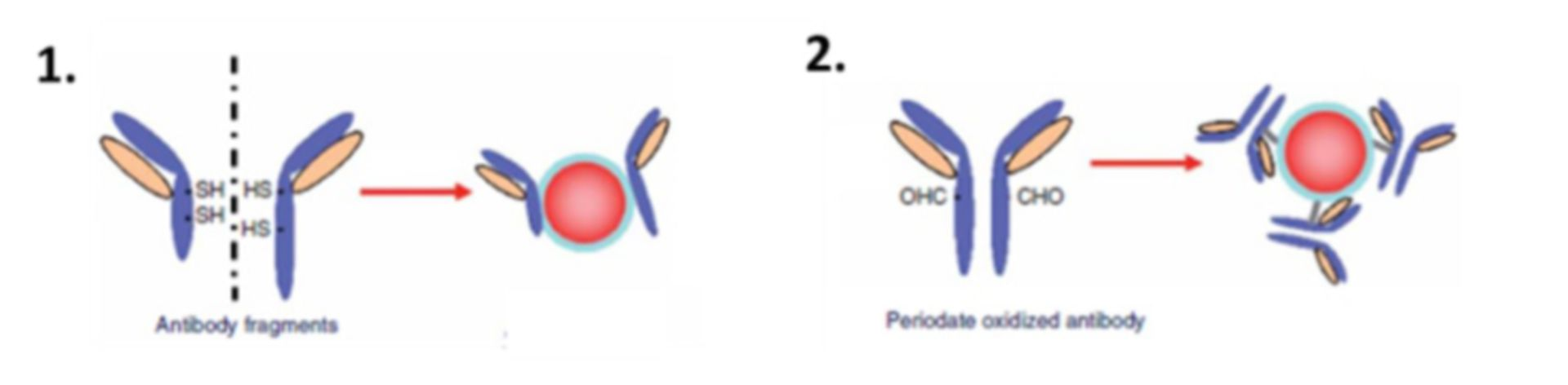 Immobilization of Antibody on Beads