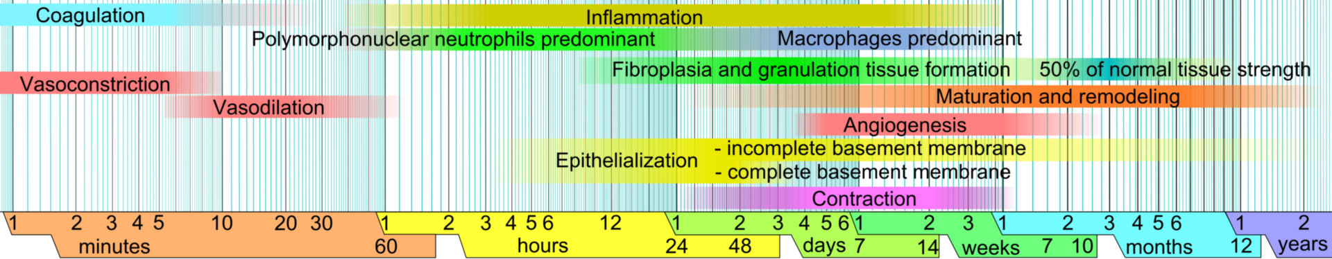Etapas de la curación de heridas (esquema)