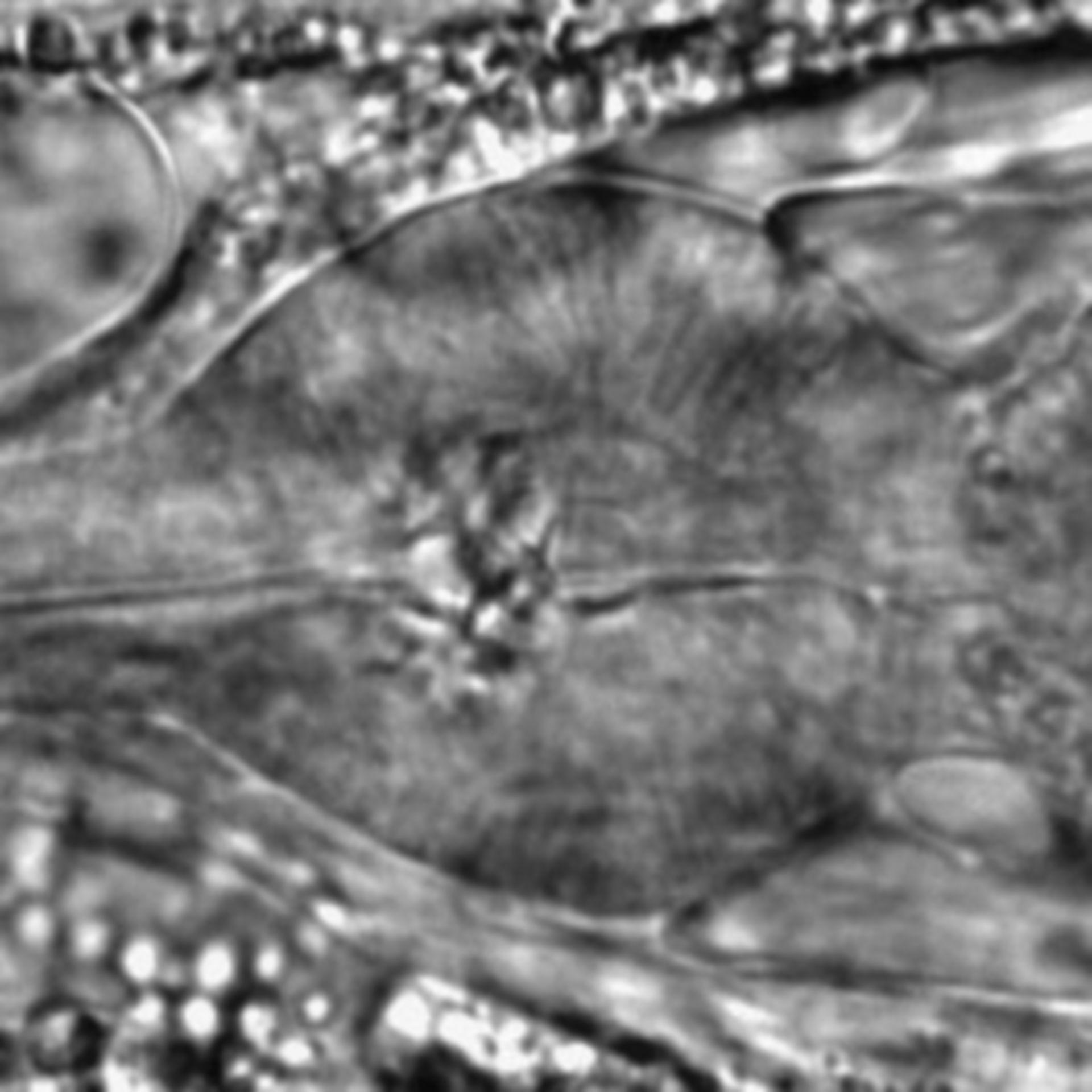 Caenorhabditis elegans - CIL:1780