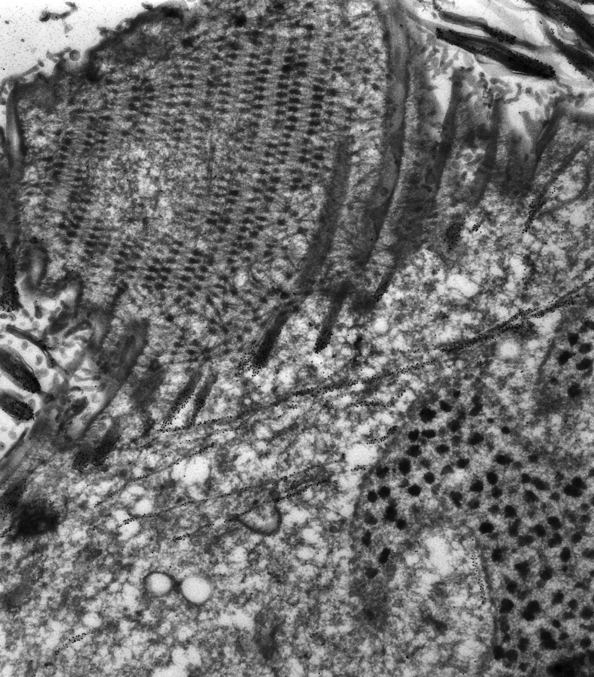 Paramecium tetraurelia (macronucleo) - CIL:12075