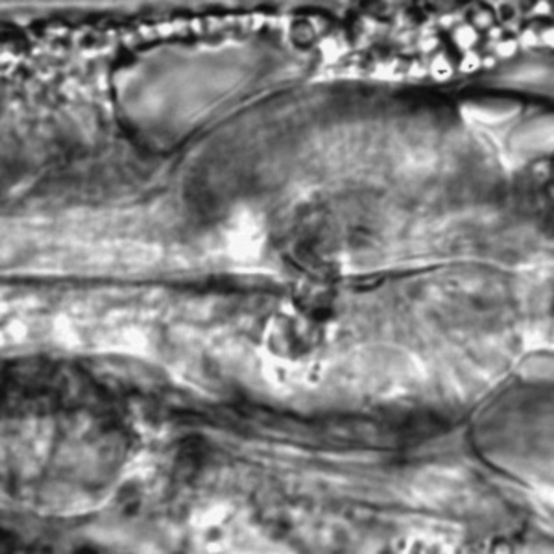 Caenorhabditis elegans - CIL:1786