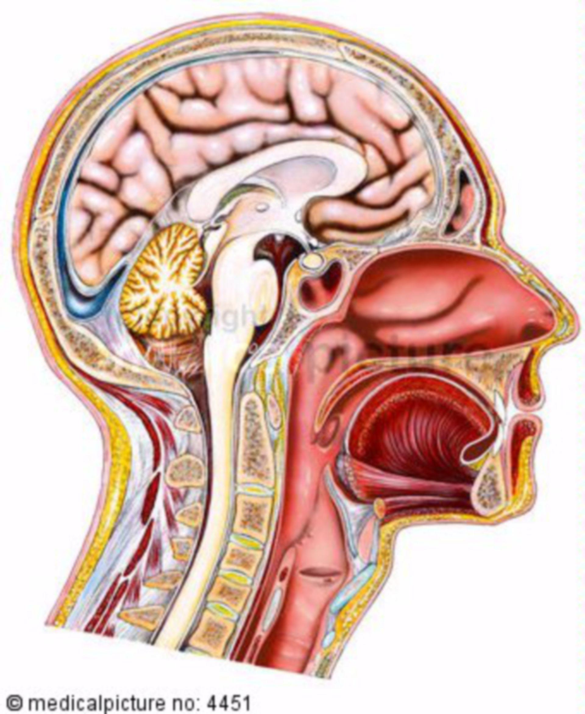 Sezione sagittale della testa