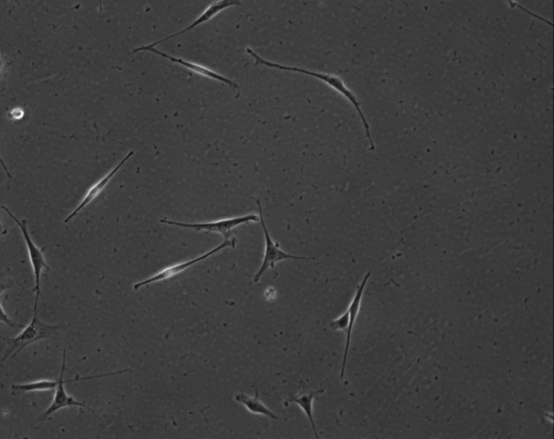 Mus musculus (Extracellular matrix part) - CIL:7861