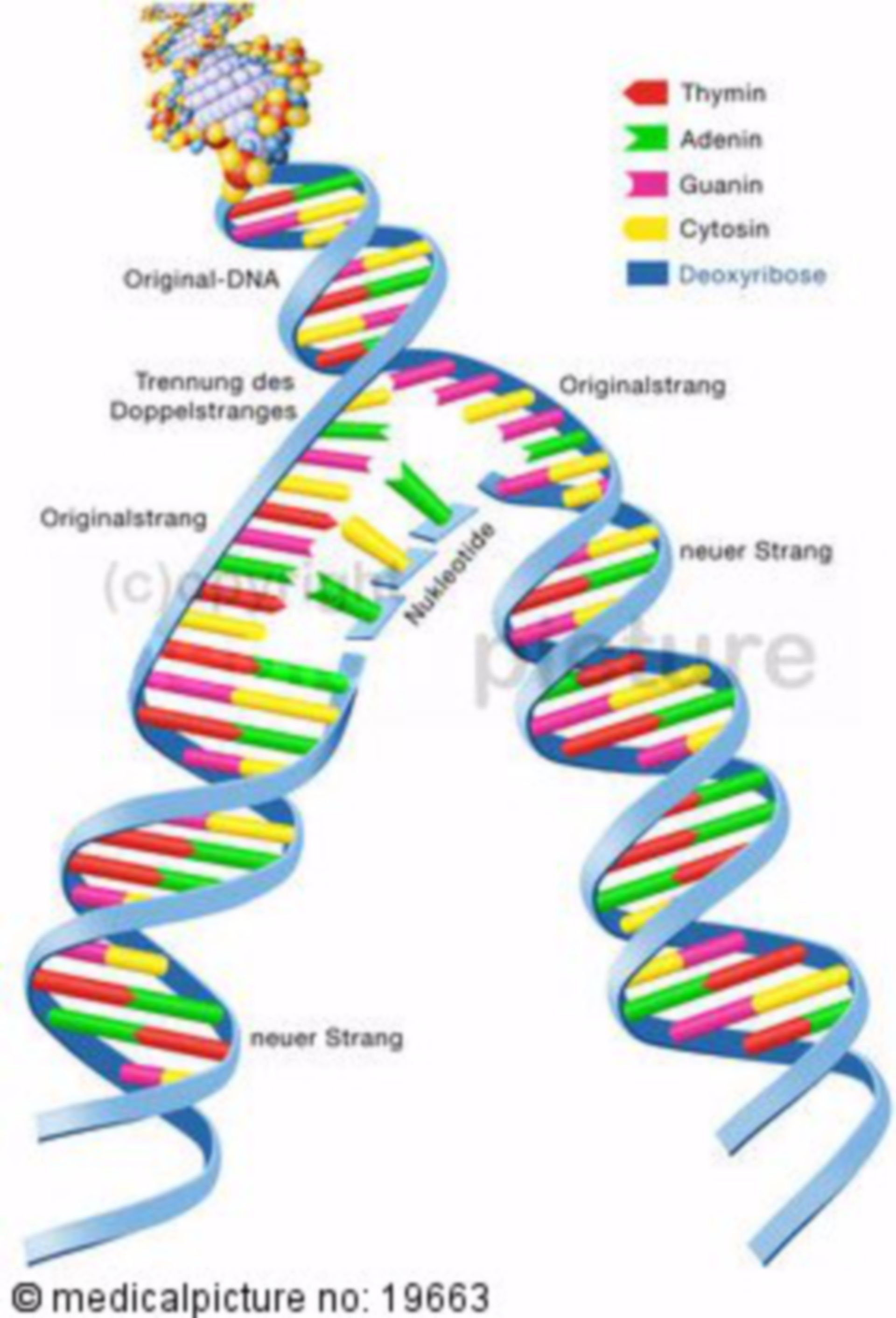 Replication of the genetic material