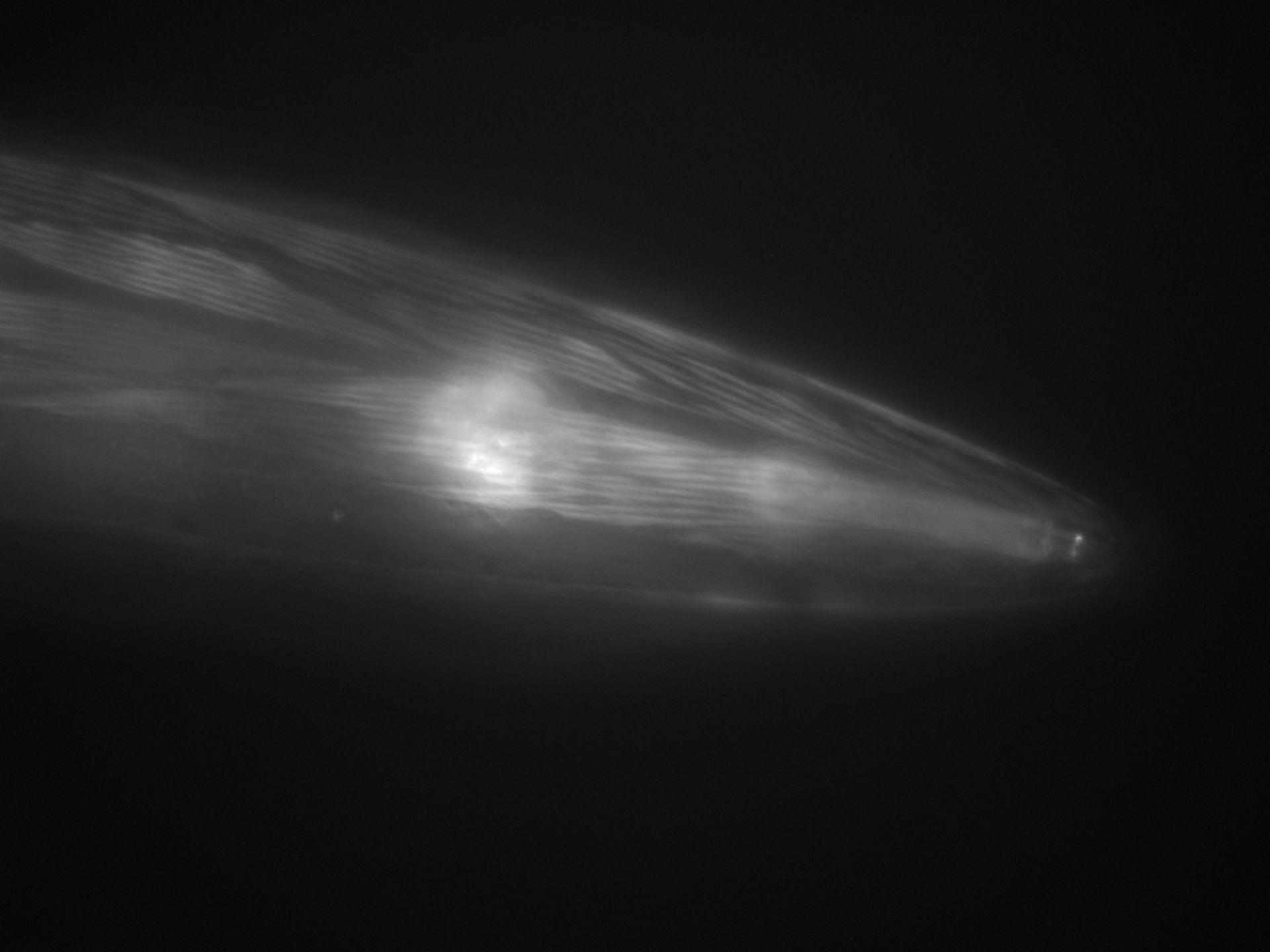 Caenorhabditis elegans (Actin filament) - CIL:1282