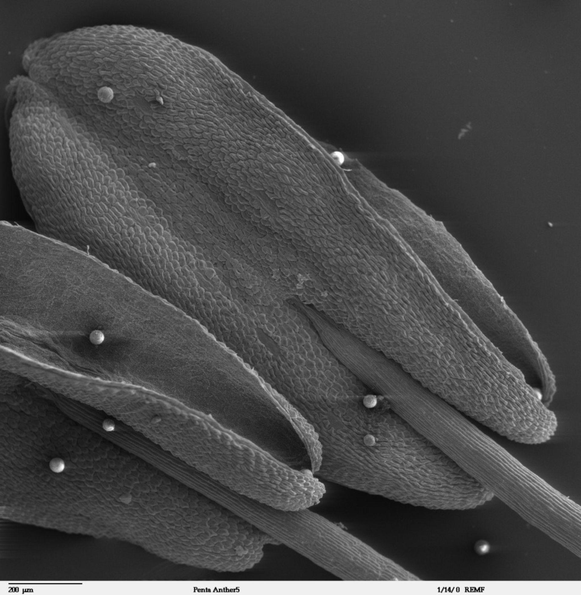 Pentas lanceolata - CIL:41310