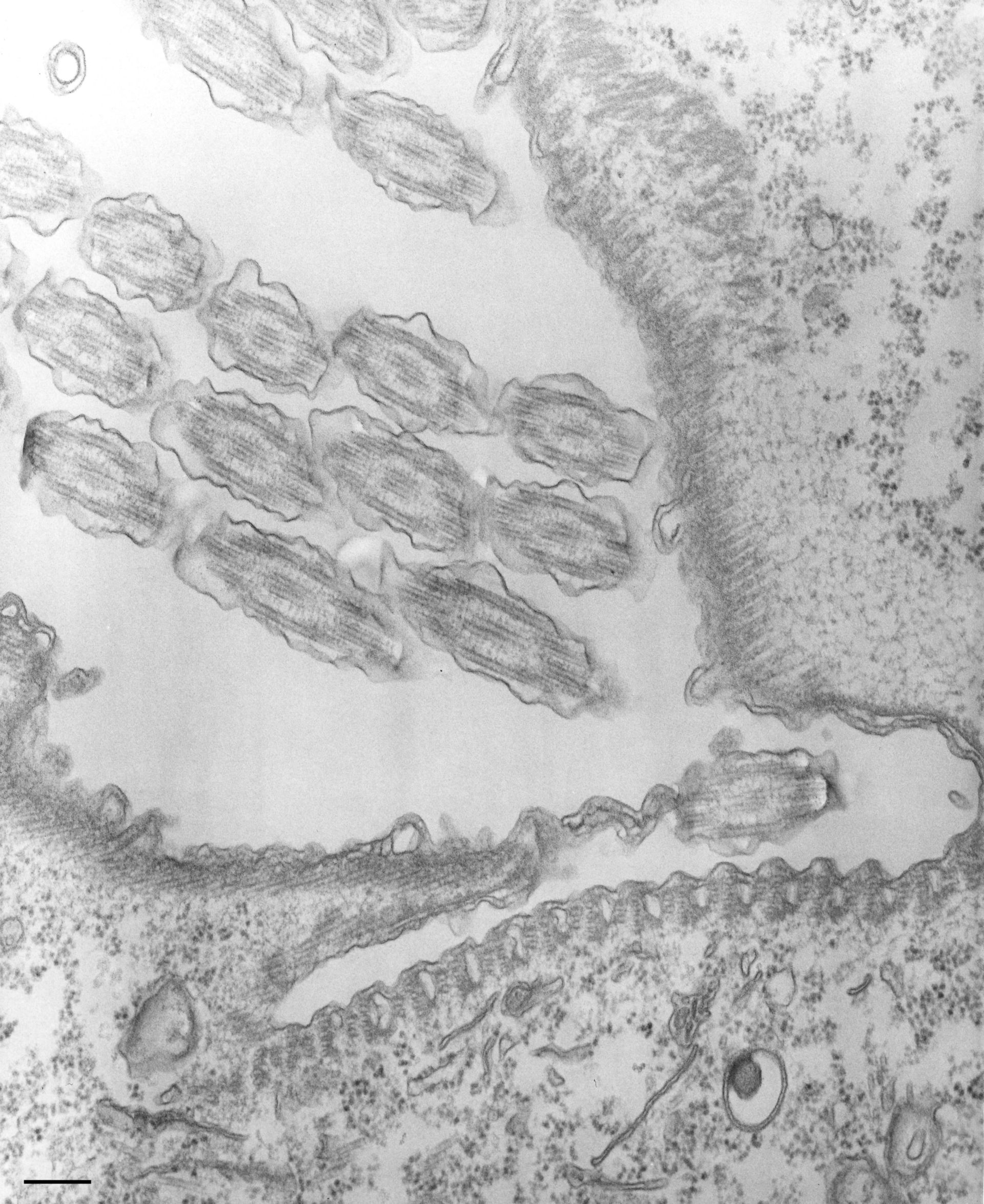 Tetrahymena pyriformis (Oral apparatus) - CIL:35483