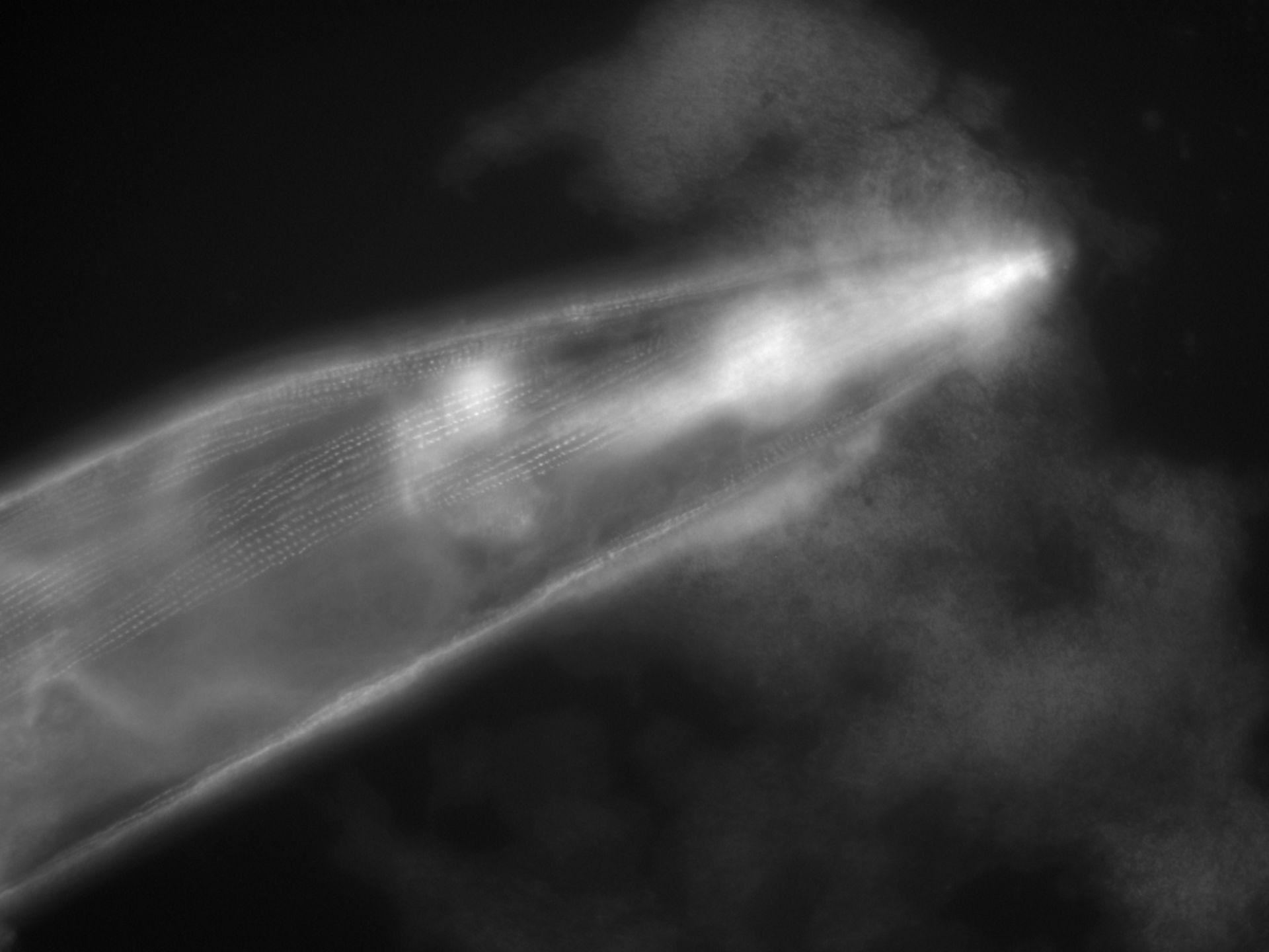 Caenorhabditis elegans (filamento di actina) - CIL:1122