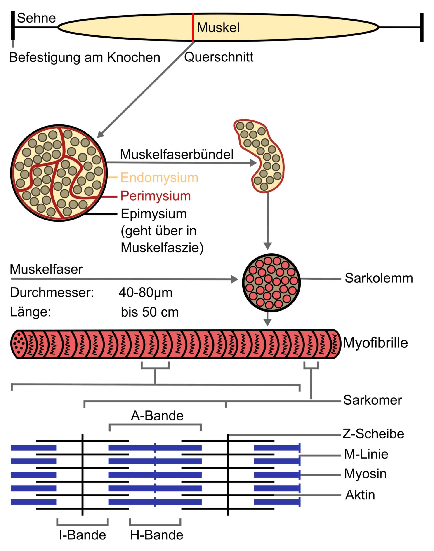 Struttura del muscolo scheletrico (illustrazione)