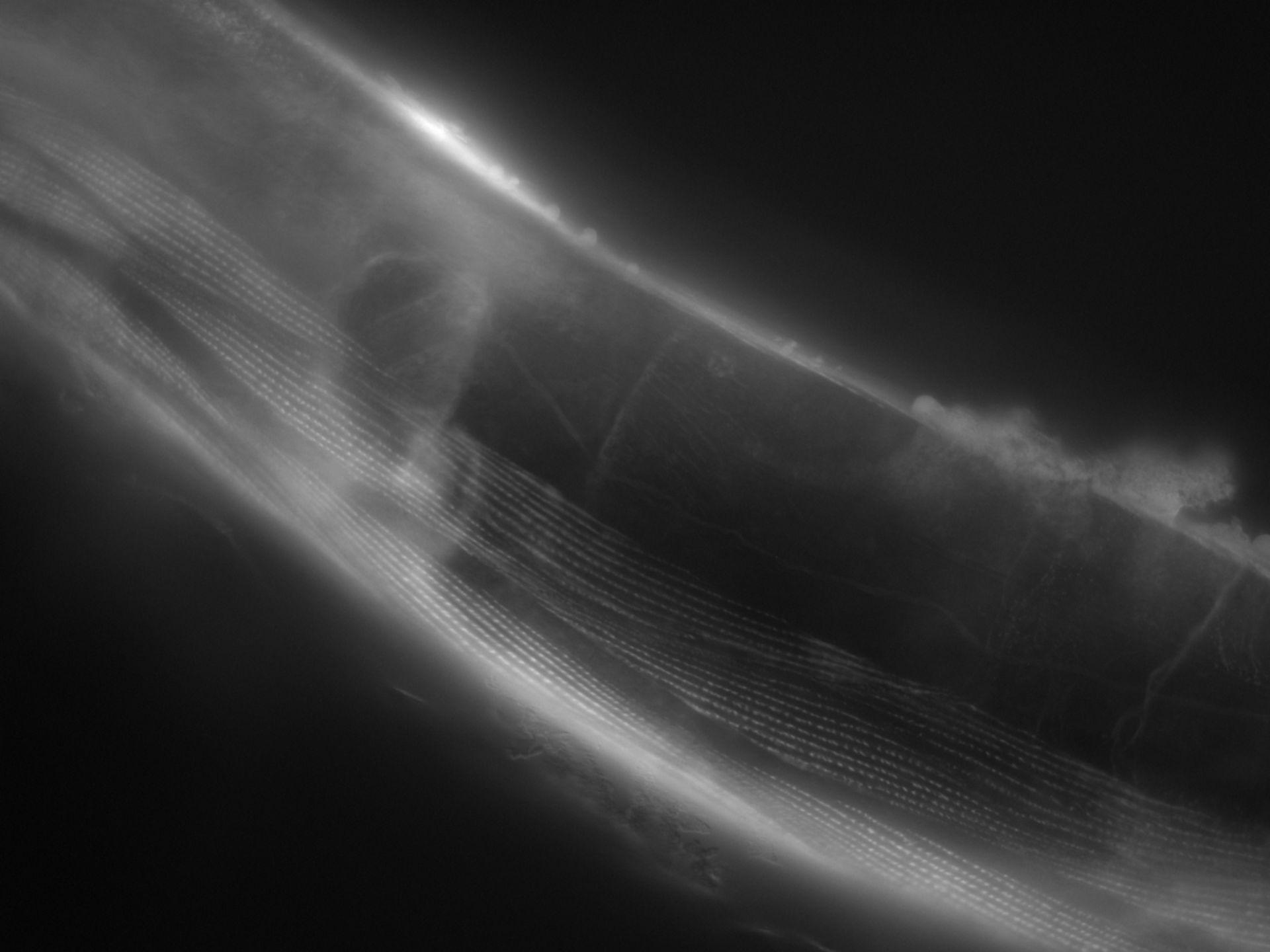 Caenorhabditis elegans (Actin filament) - CIL:1156