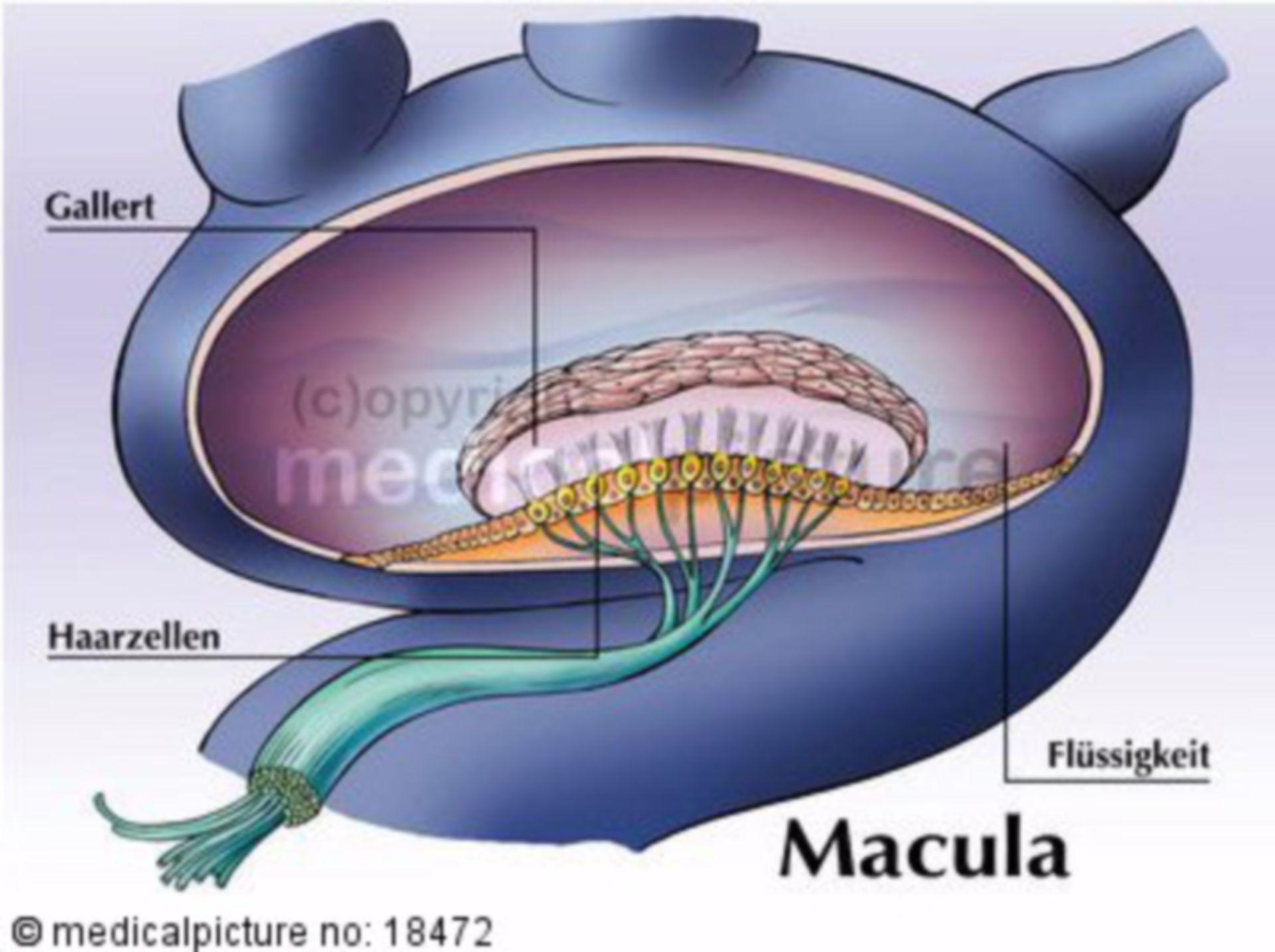 Macula statica, Gleichgewichtsorgan