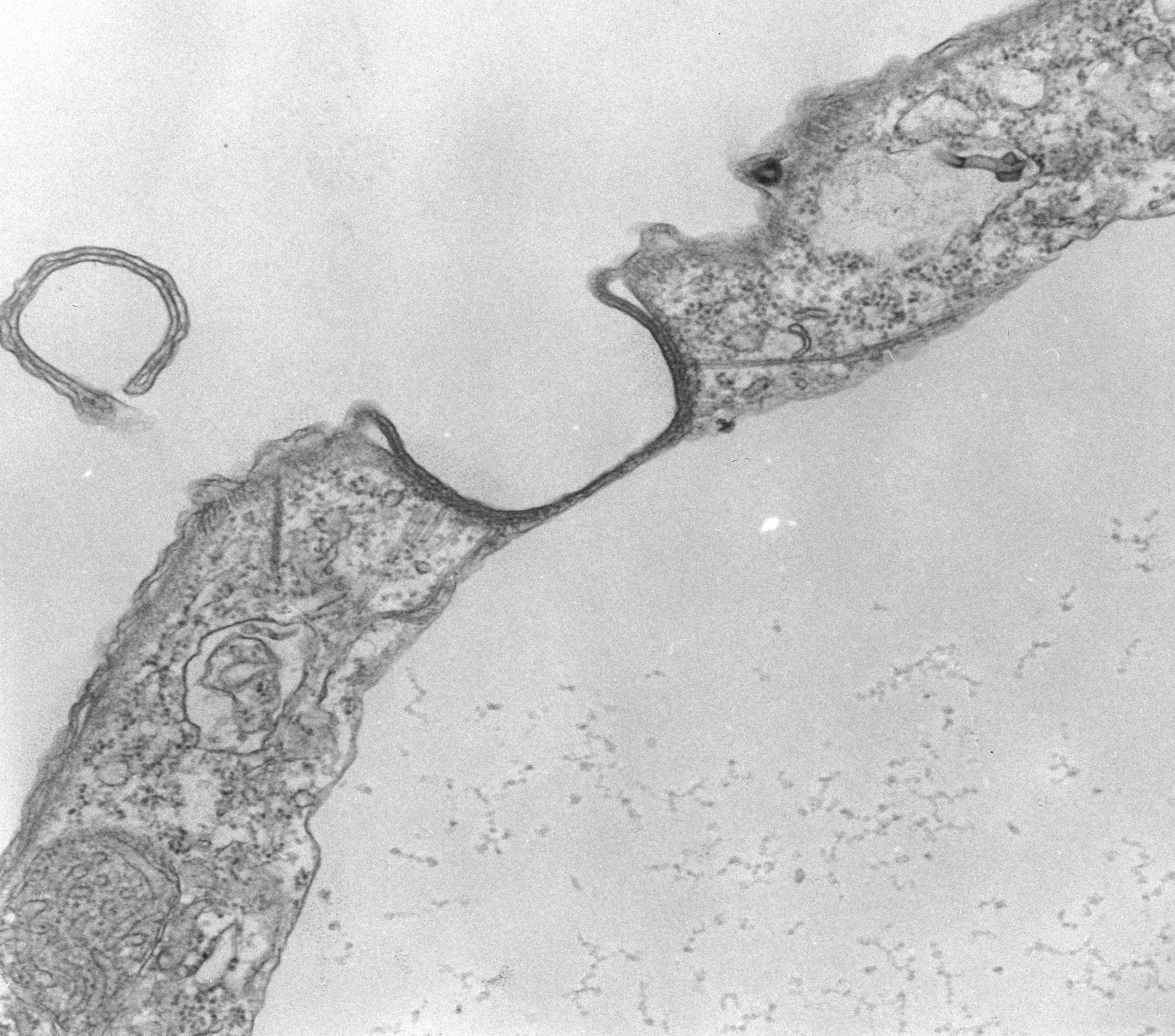 Tetrahymena pyriformis (complesso associato ai microtubuli) - CIL:39793