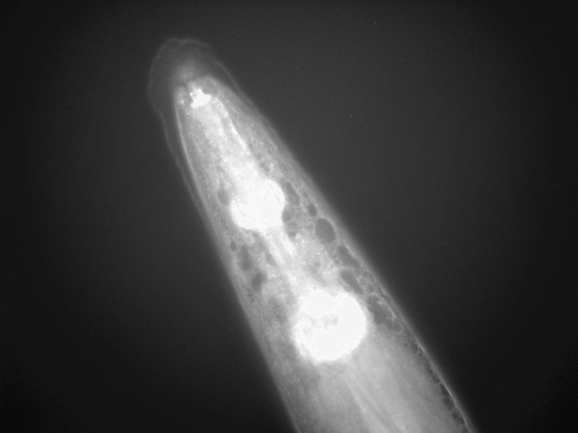 Caenorhabditis elegans (filamento di actina) - CIL:1295
