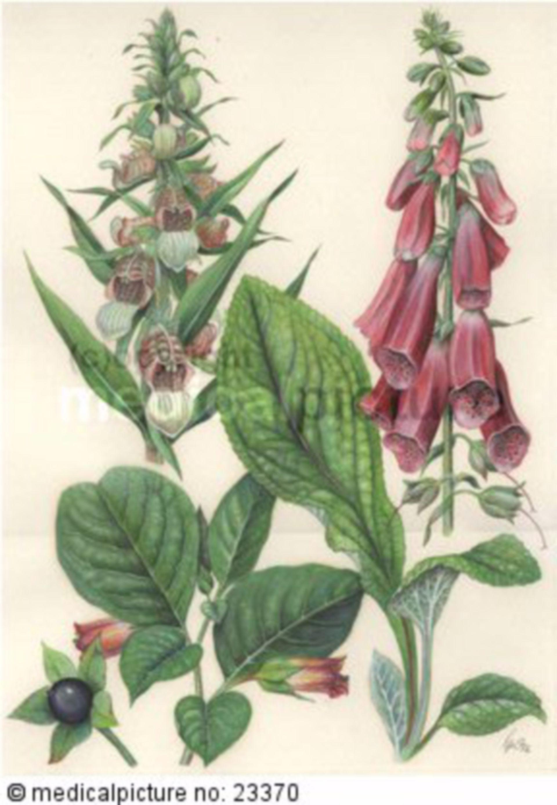 Foxglove and belladonna