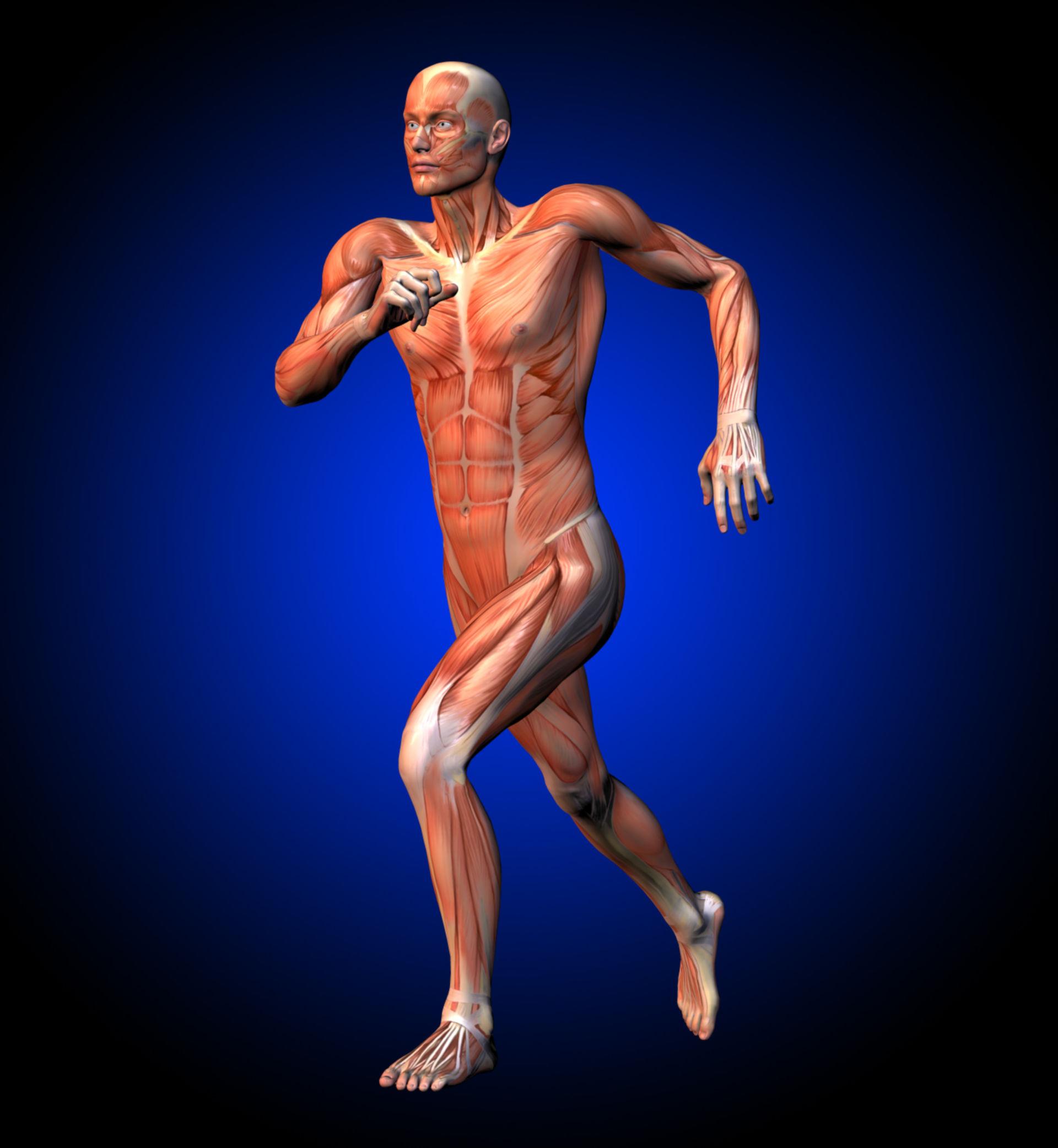 Corridore, muscolatura