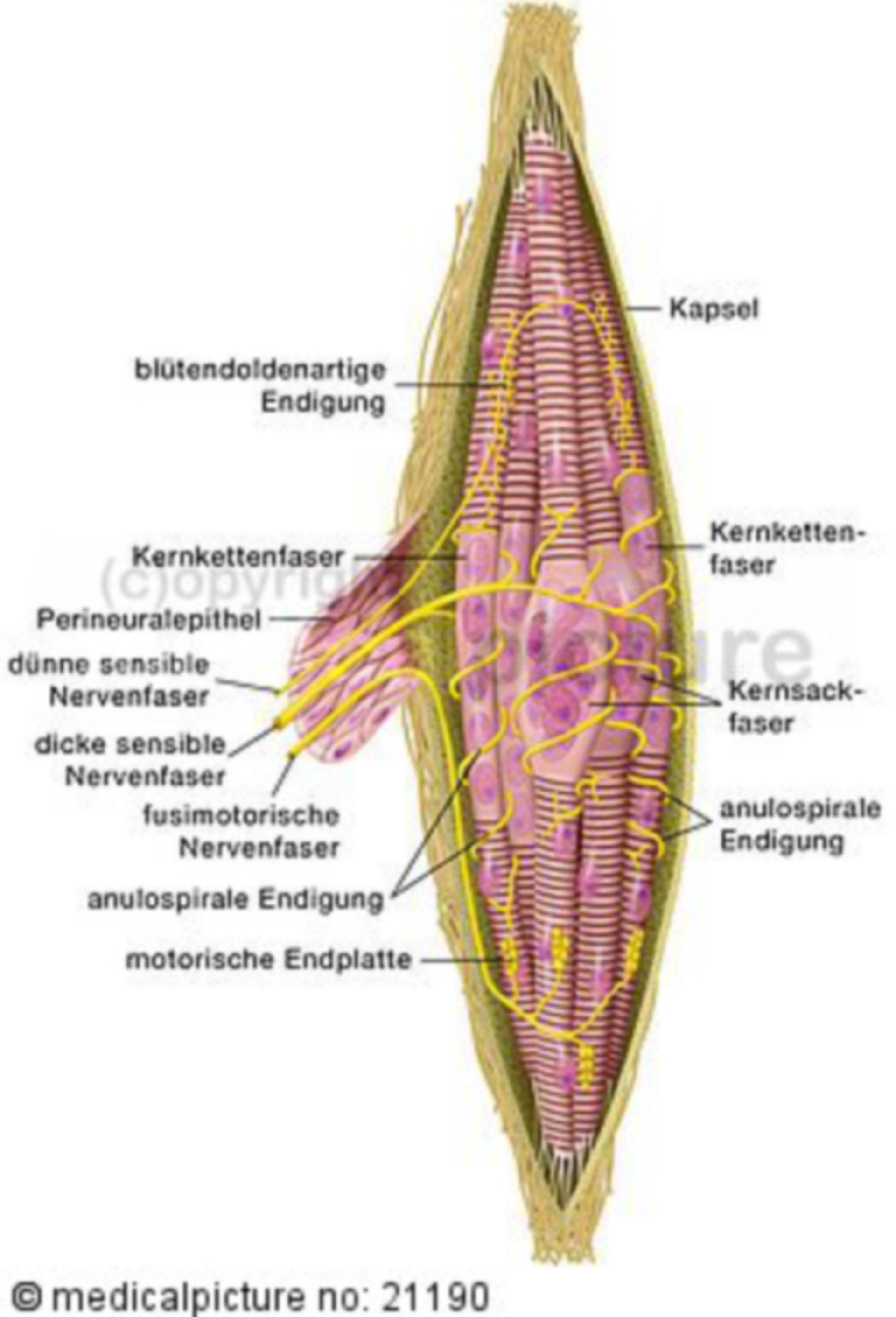 Huso muscular