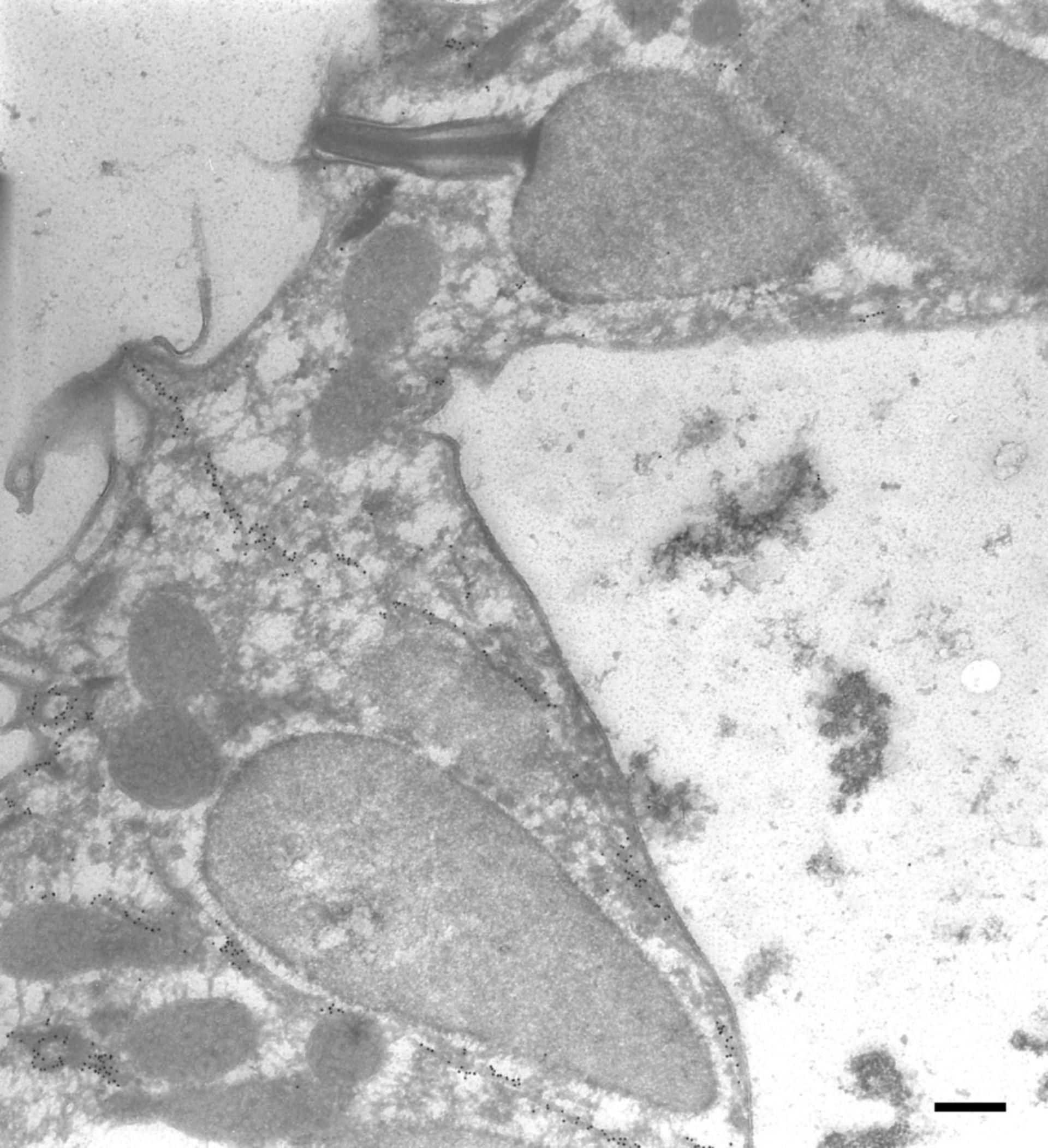 Paramecium tetraurelia (Microtubule) - CIL:9851