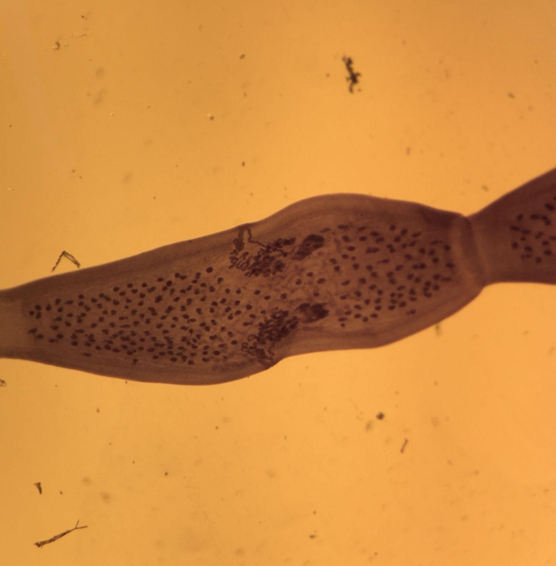 Dipylidium sp. (Proglottis)