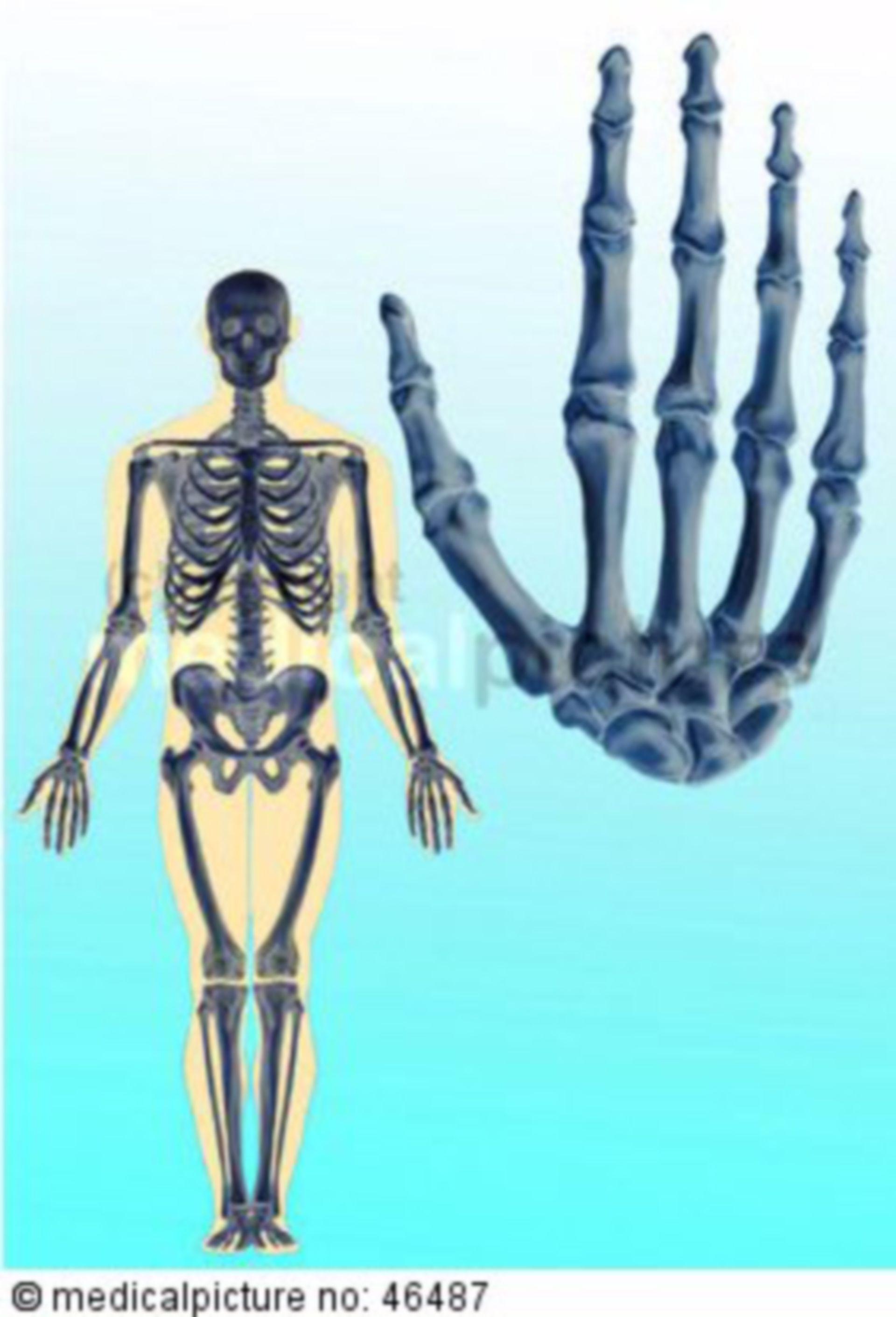 Human skeleton and hand bones