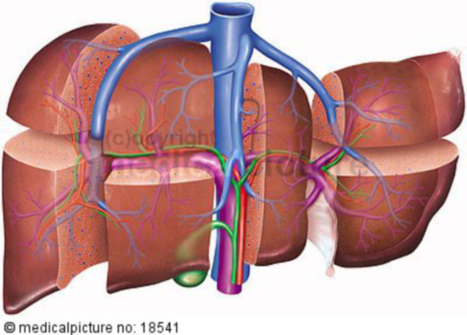 Segments of the liver