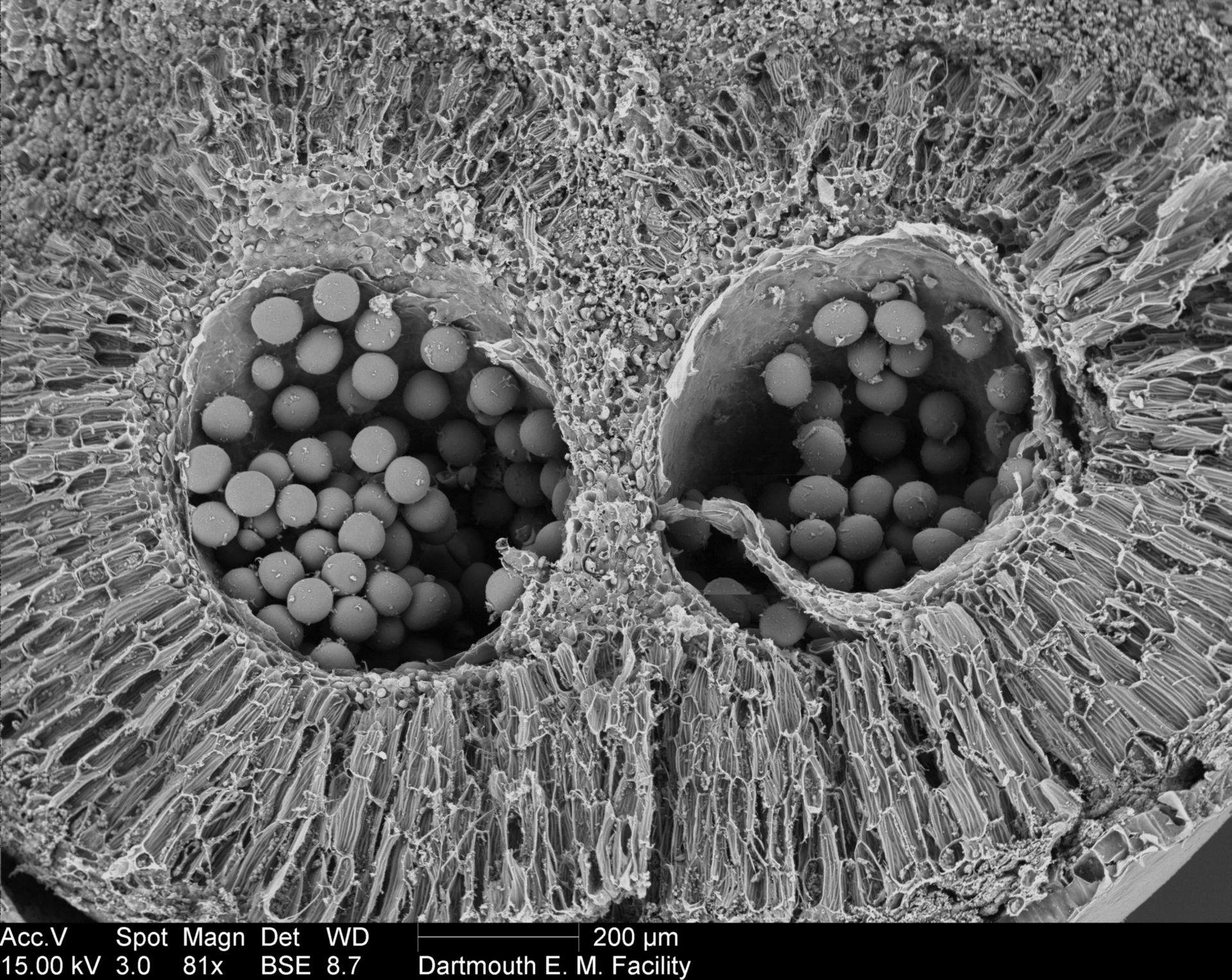 Amorphophallus titanum (Pollen surface) - CIL:39378