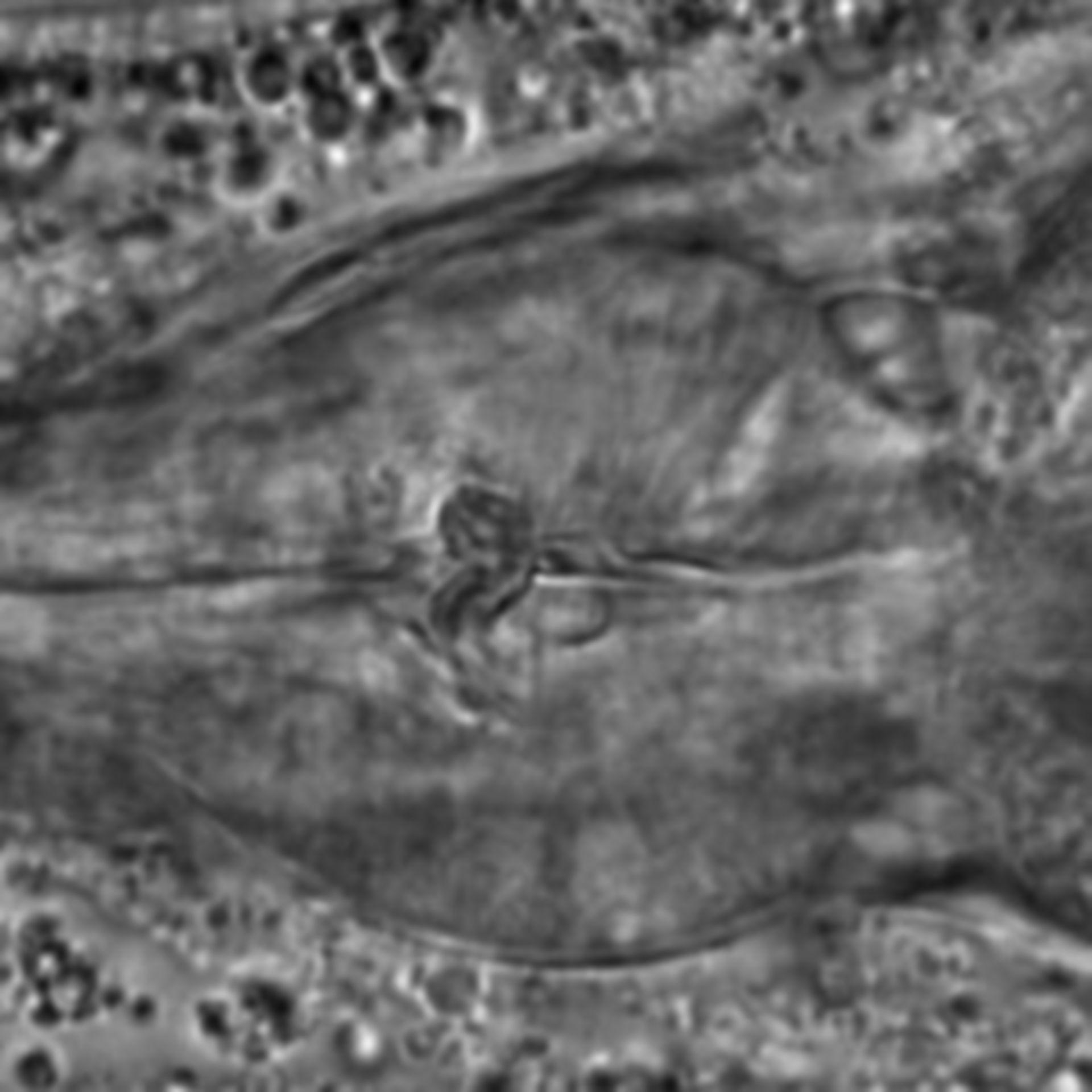Caenorhabditis elegans - CIL:2056