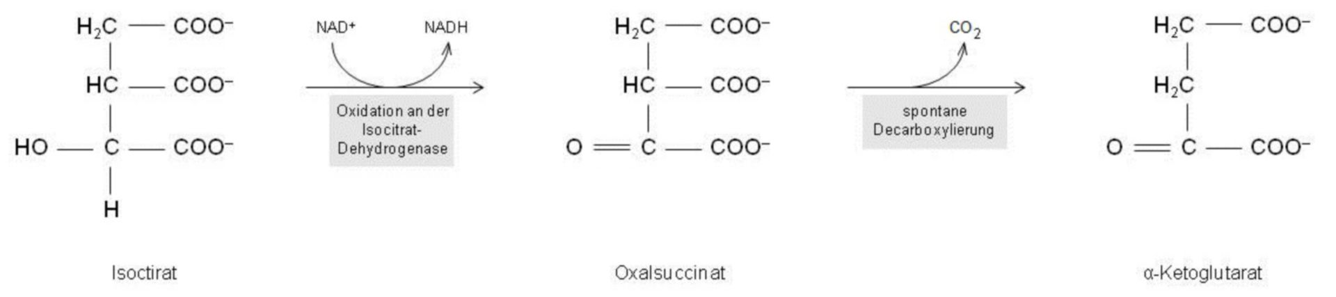 Oxidación al alfa-quétoglutarato