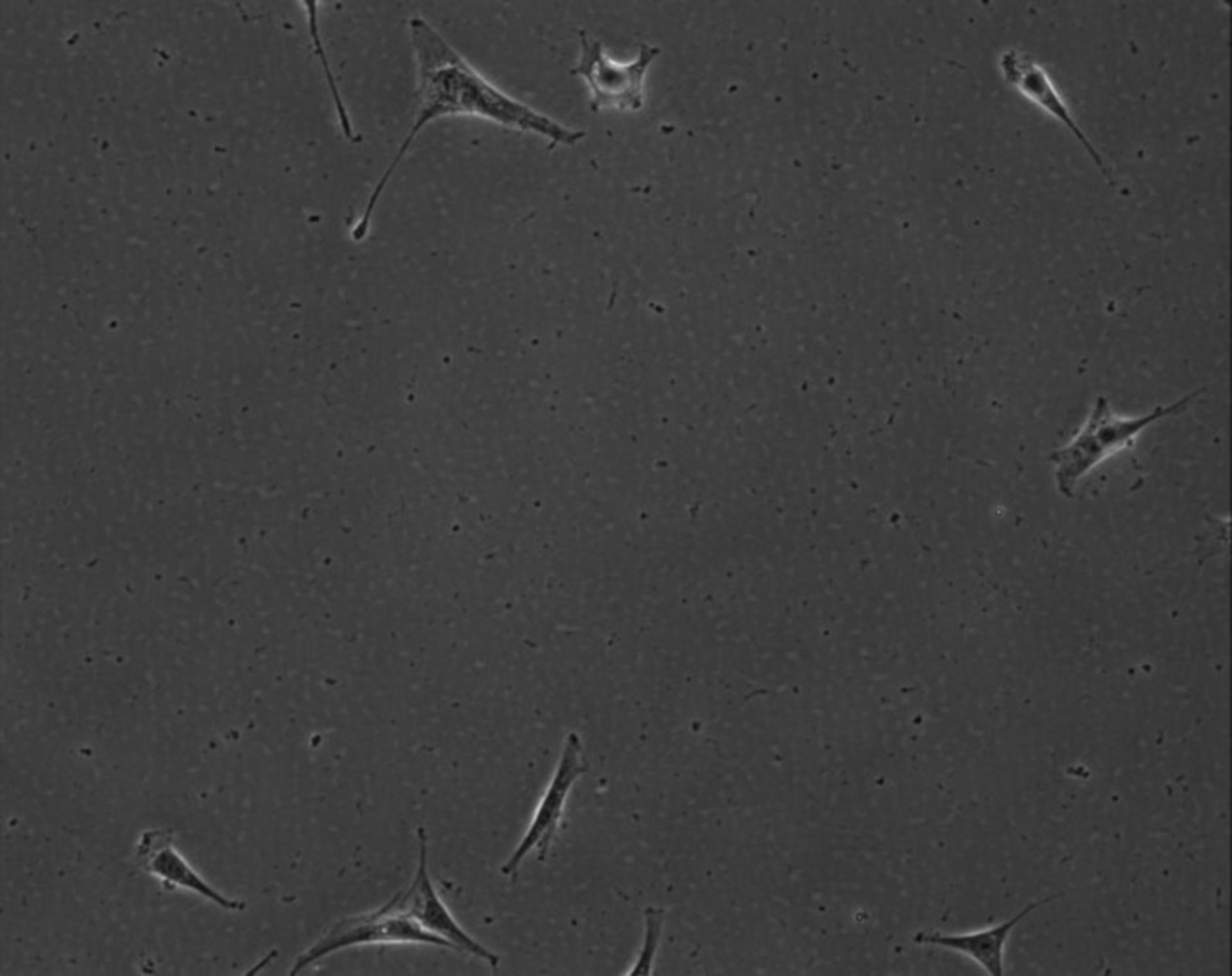 Mus musculus (Extracellular matrix part) - CIL:8982