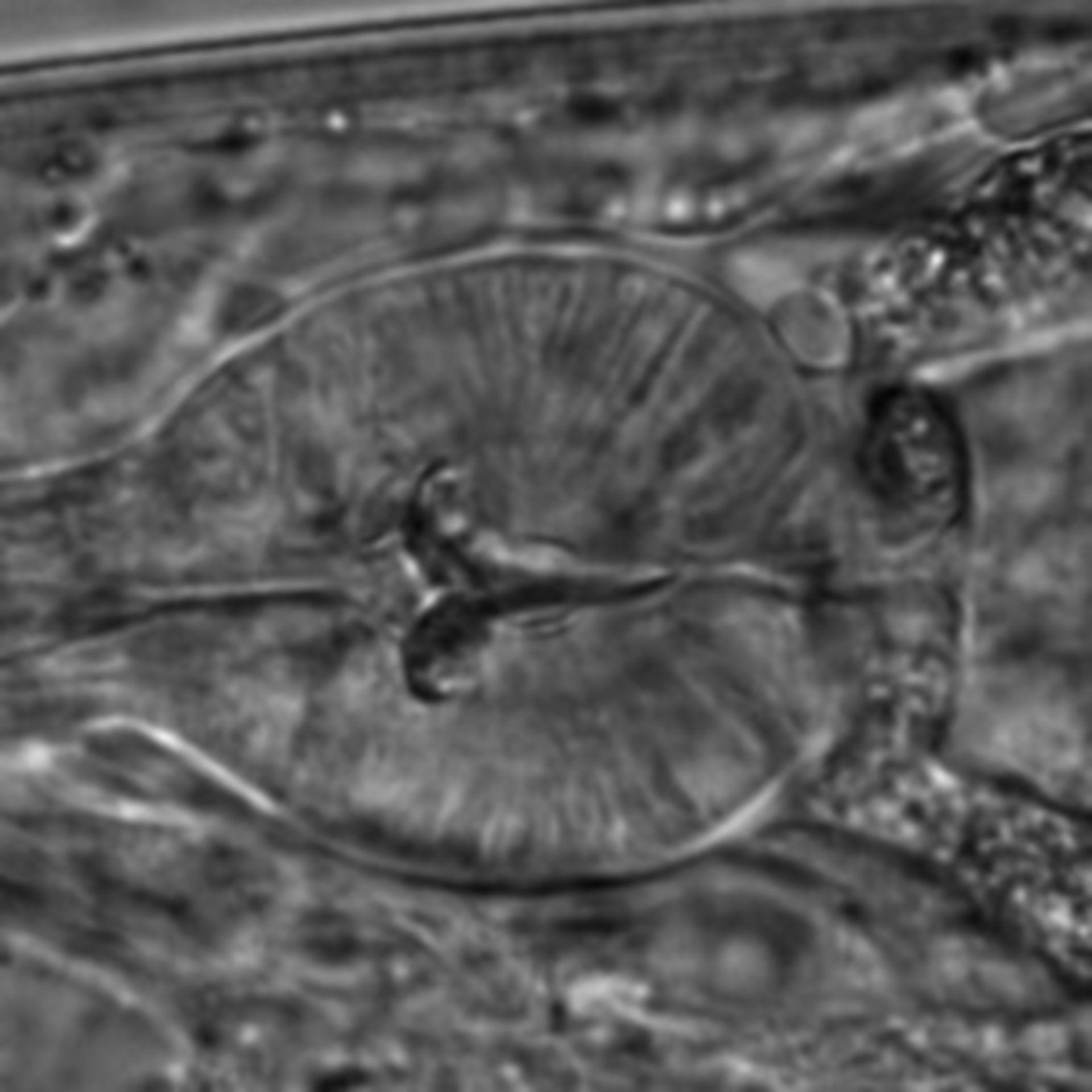 Caenorhabditis elegans - CIL:1600