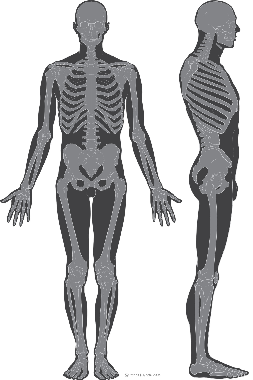 Illustrazione scheletro umano (anteriore e laterale)