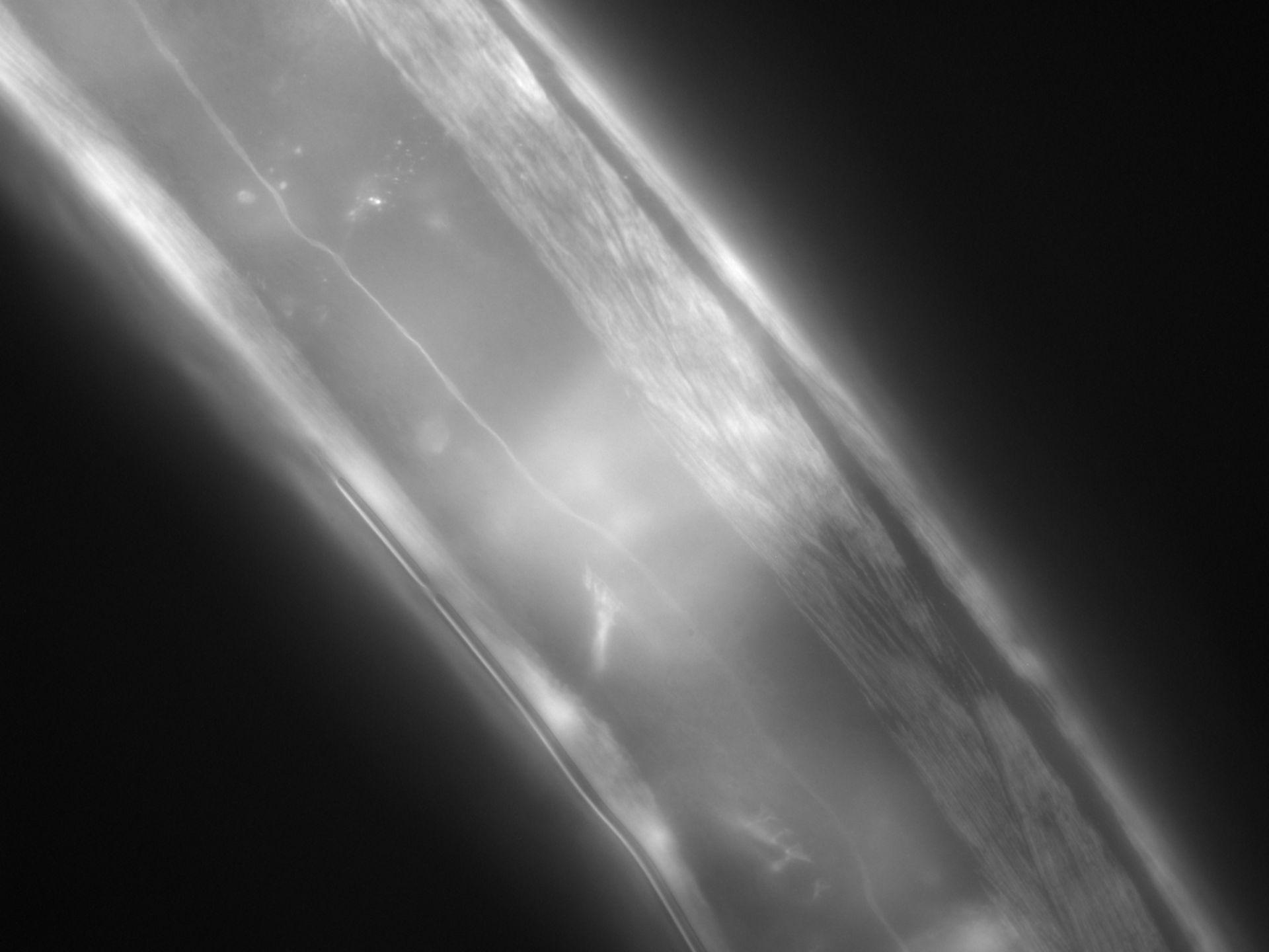 Caenorhabditis elegans (filamento di actina) - CIL:1287