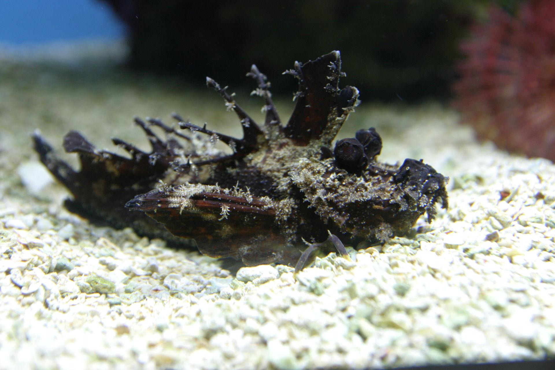 Teufelsfisch (Anglerfisch)