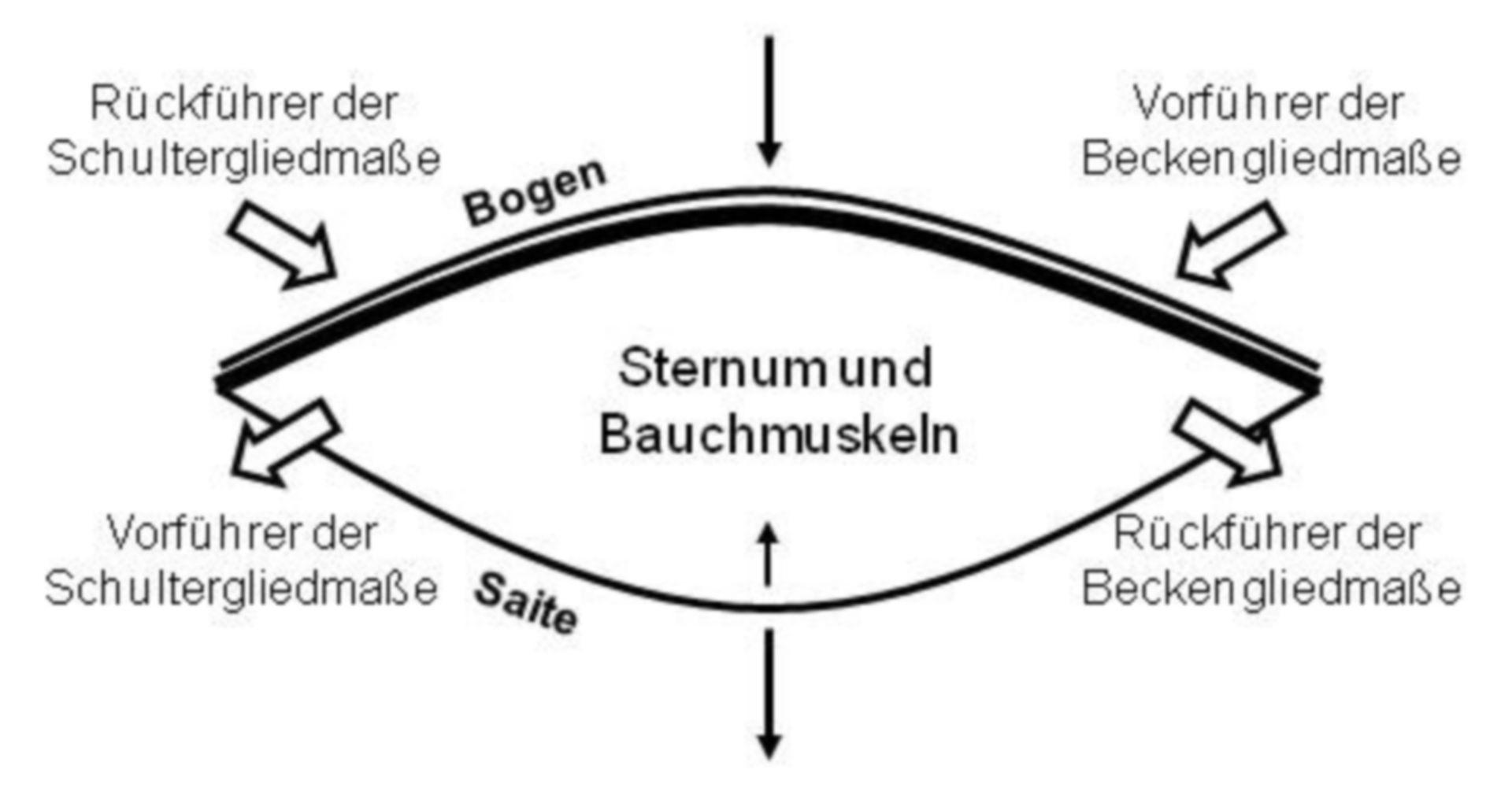 Bogensehnenkonstruktion - Gliedmaßen