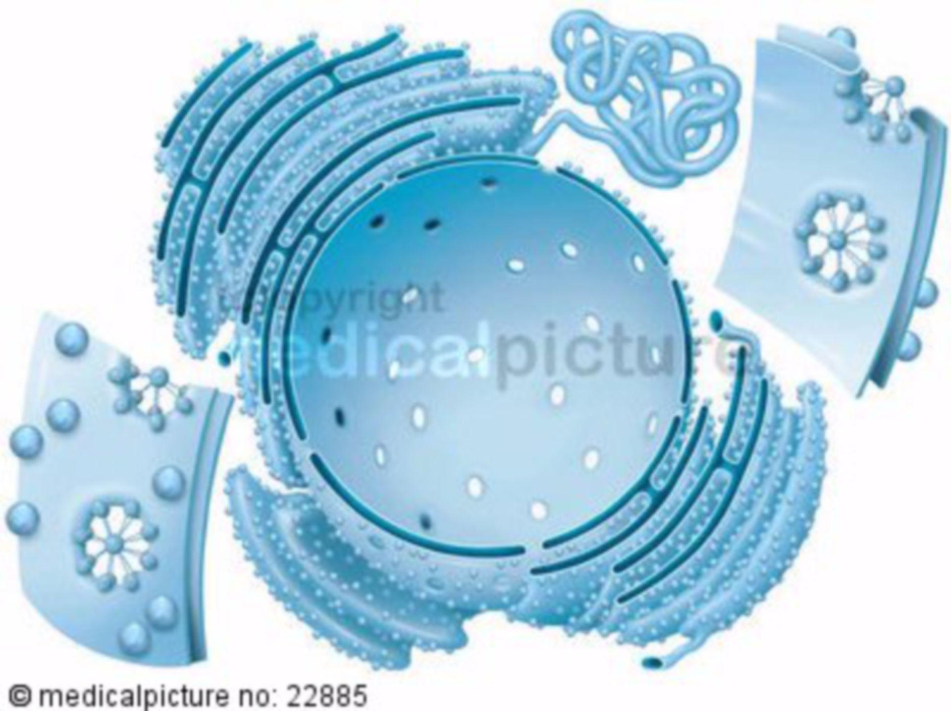 Zellkern-Huelle mit Endoplasmatischem Retikulum