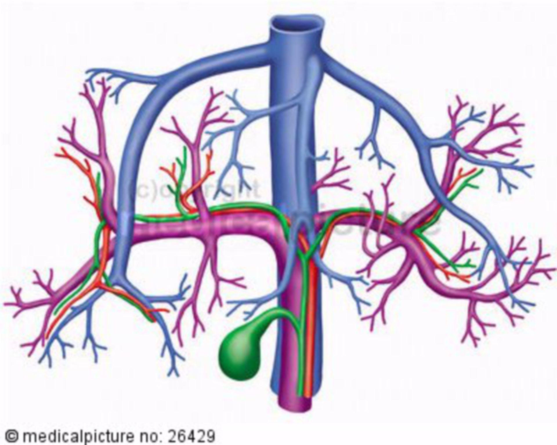 Gallenblase und Lebergefäße