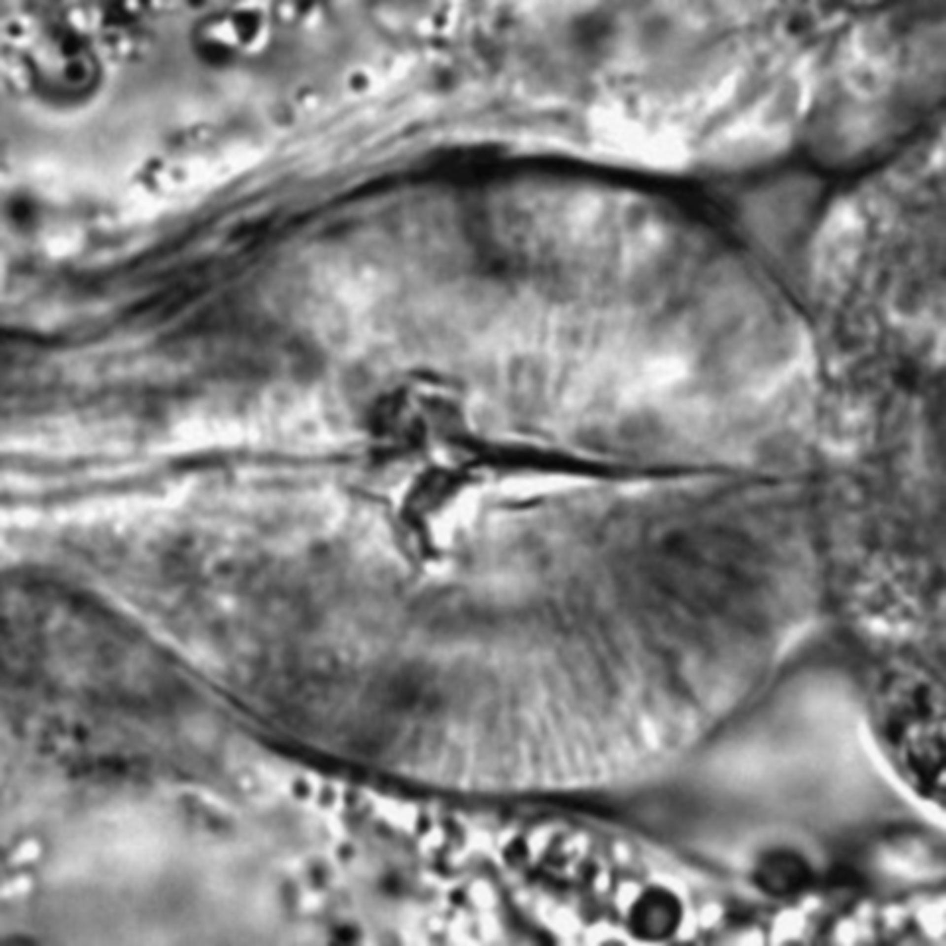 Caenorhabditis elegans - CIL:1706
